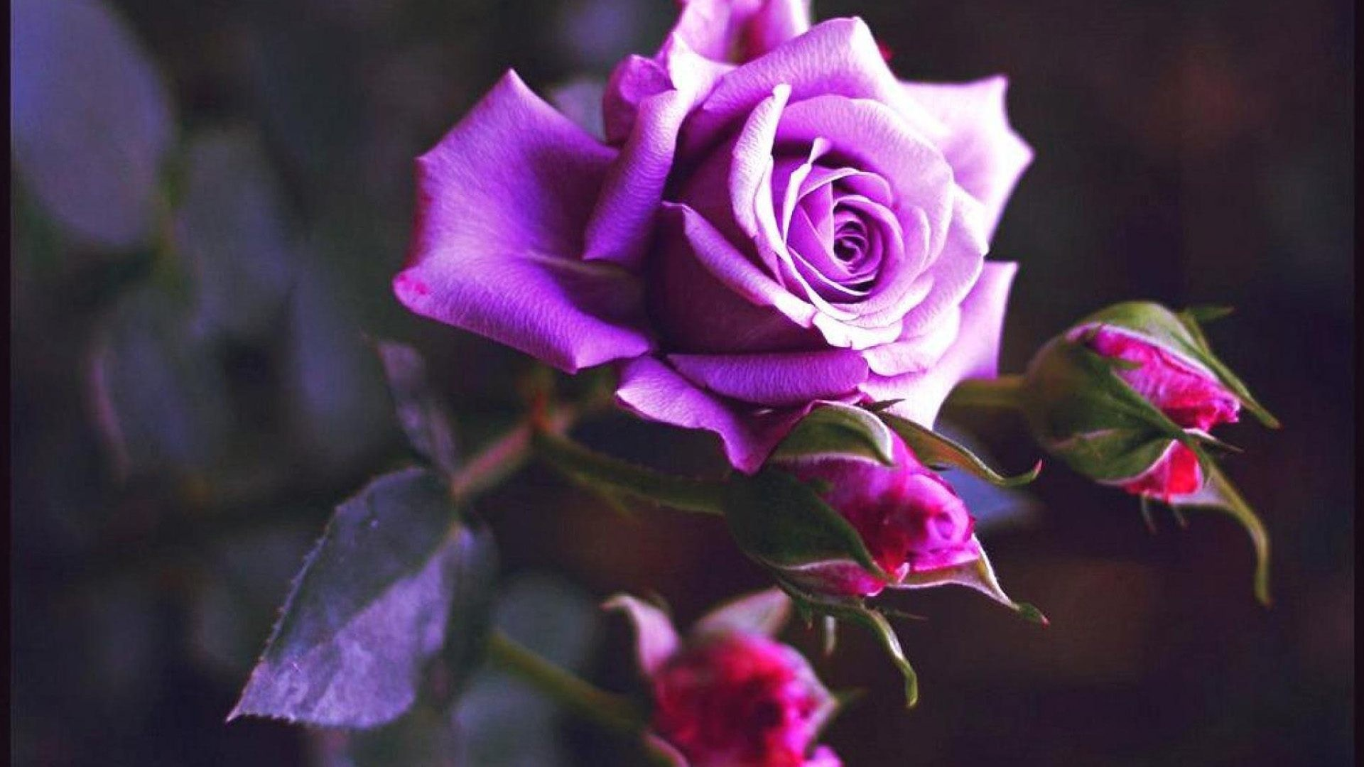 Purple Roses Background Images: Purple Roses Wallpaper ·① WallpaperTag