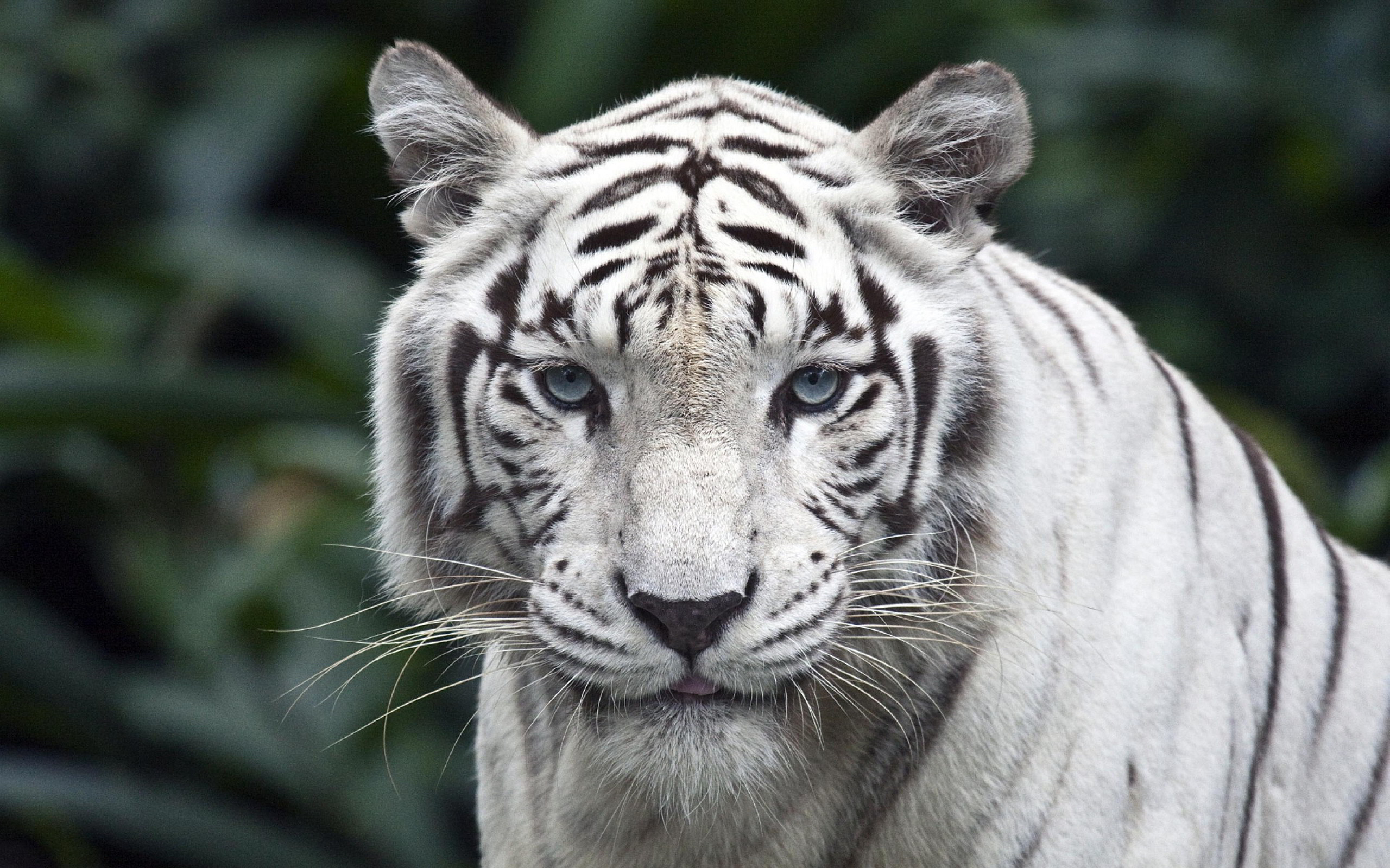 cool white tiger backgrounds - hd wallpapers images