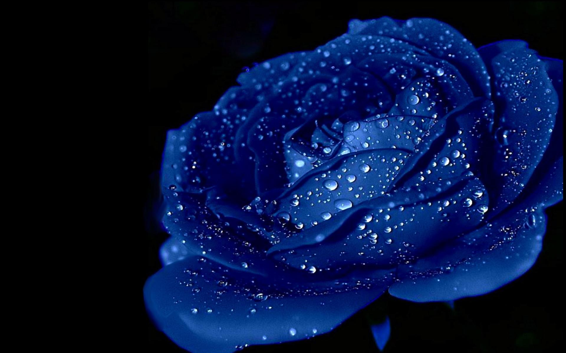 Blue Rose Wallpaper Wallpapertag
