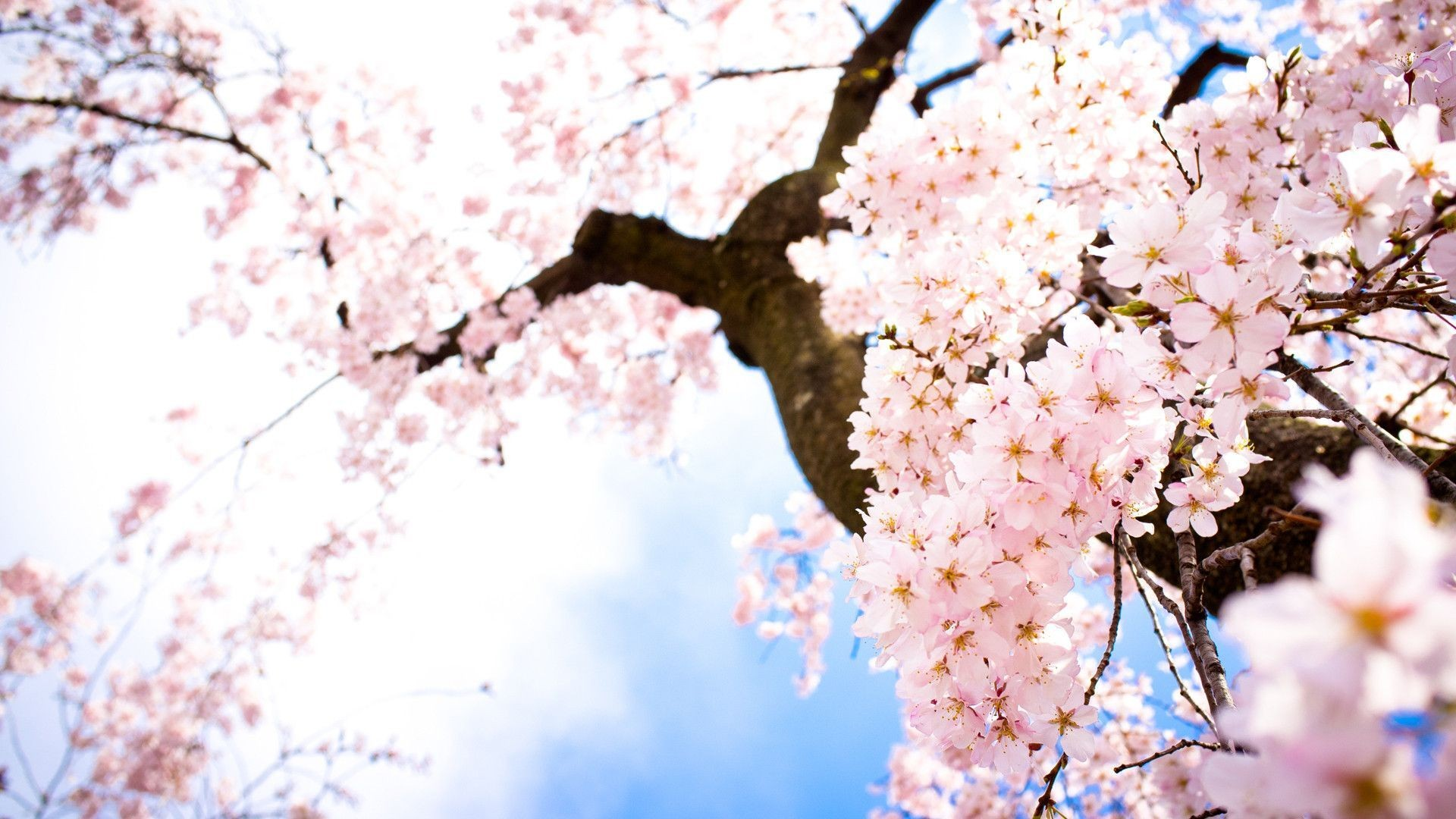 Sakura wallpaper ·① Download free stunning wallpapers for desktop