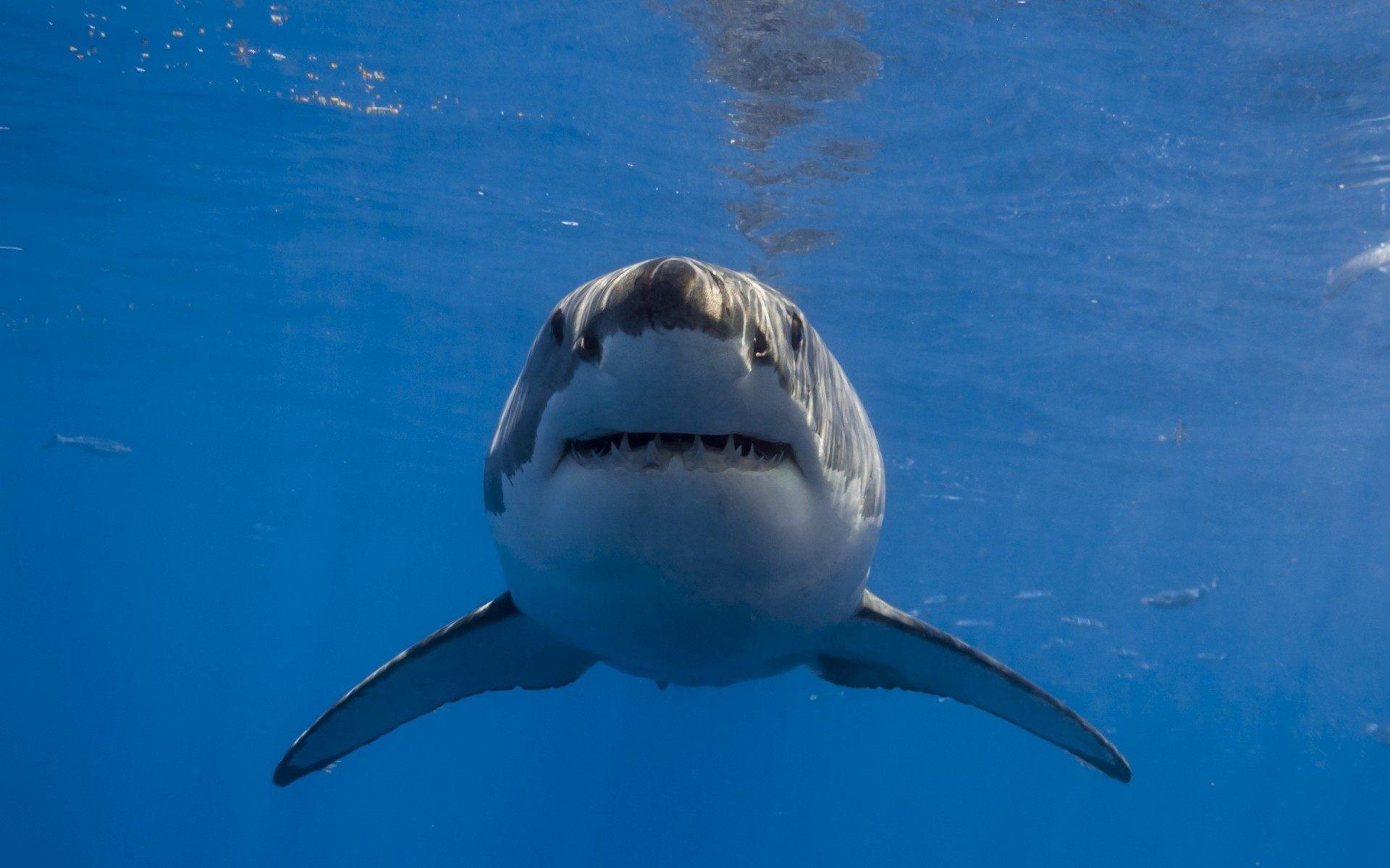 Great White Shark Wallpaper Hd Wallpapertag