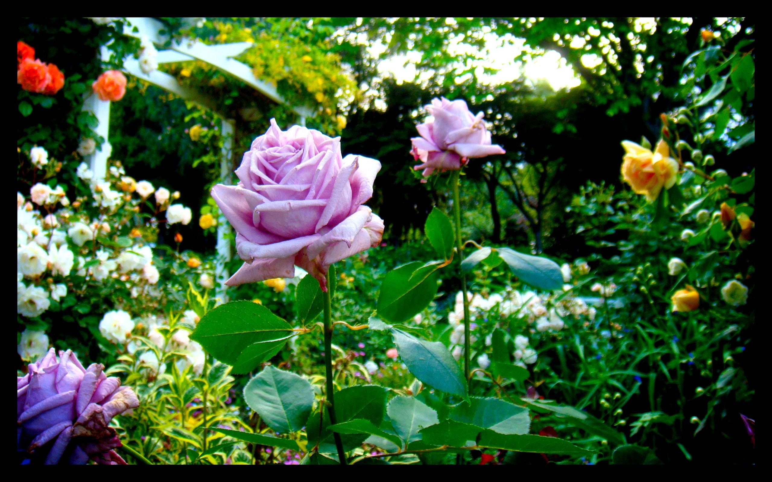 Flower Garden Hd Wallpaper Free Download