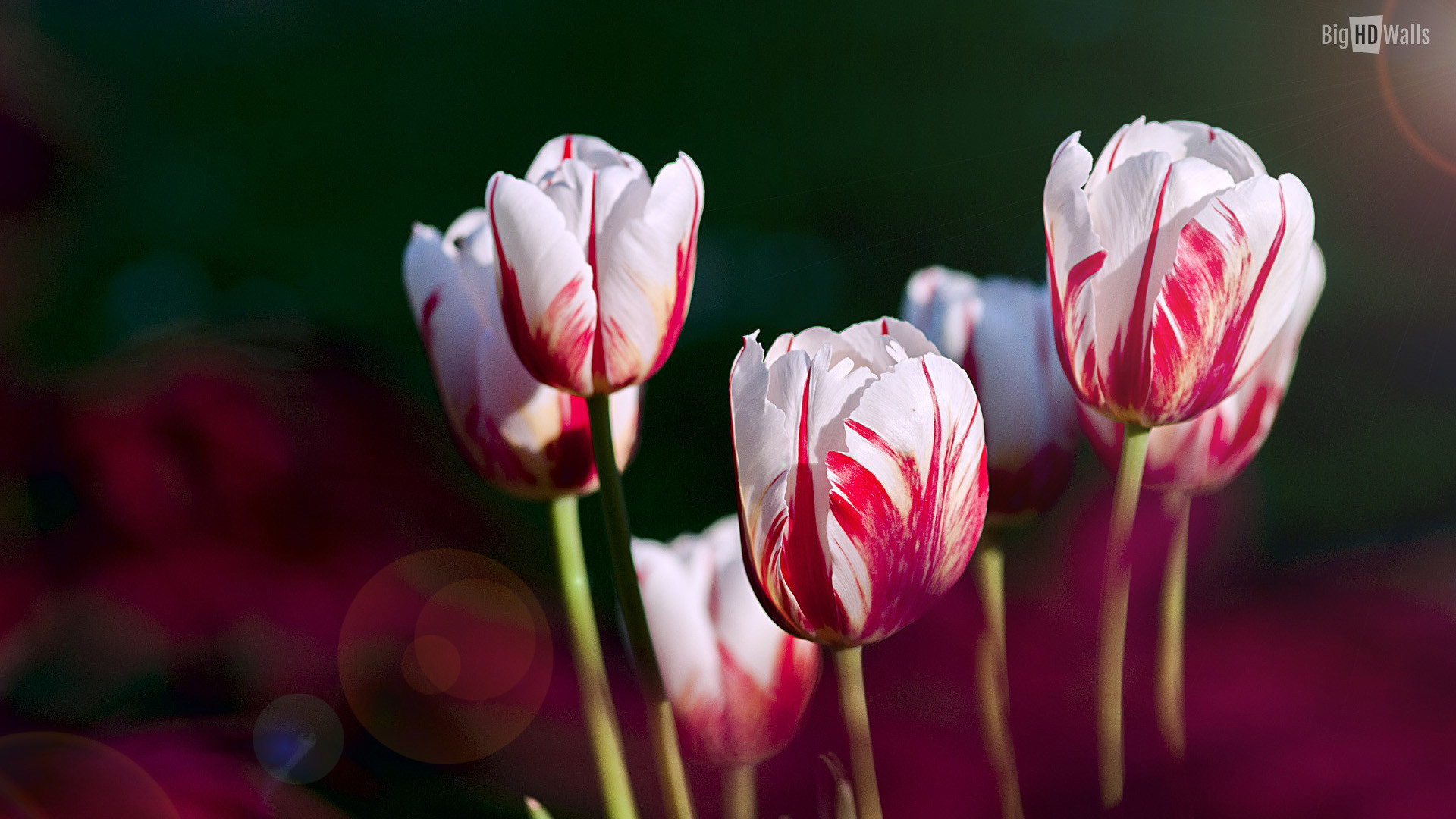 Red Tulips Wallpaper ·① WallpaperTag
