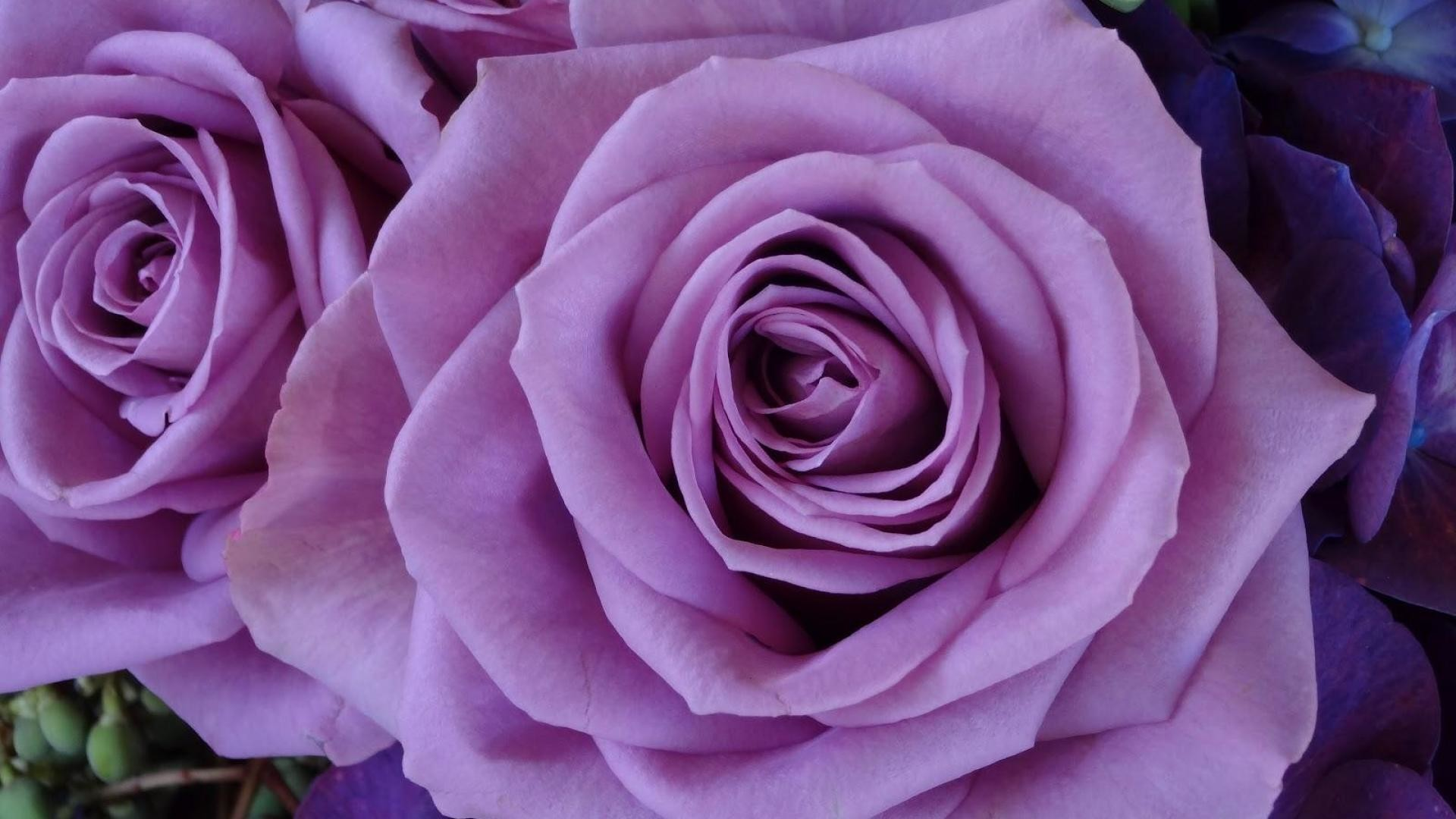 Purple roses wallpapers wallpapertag - Lavender purple wallpaper ...