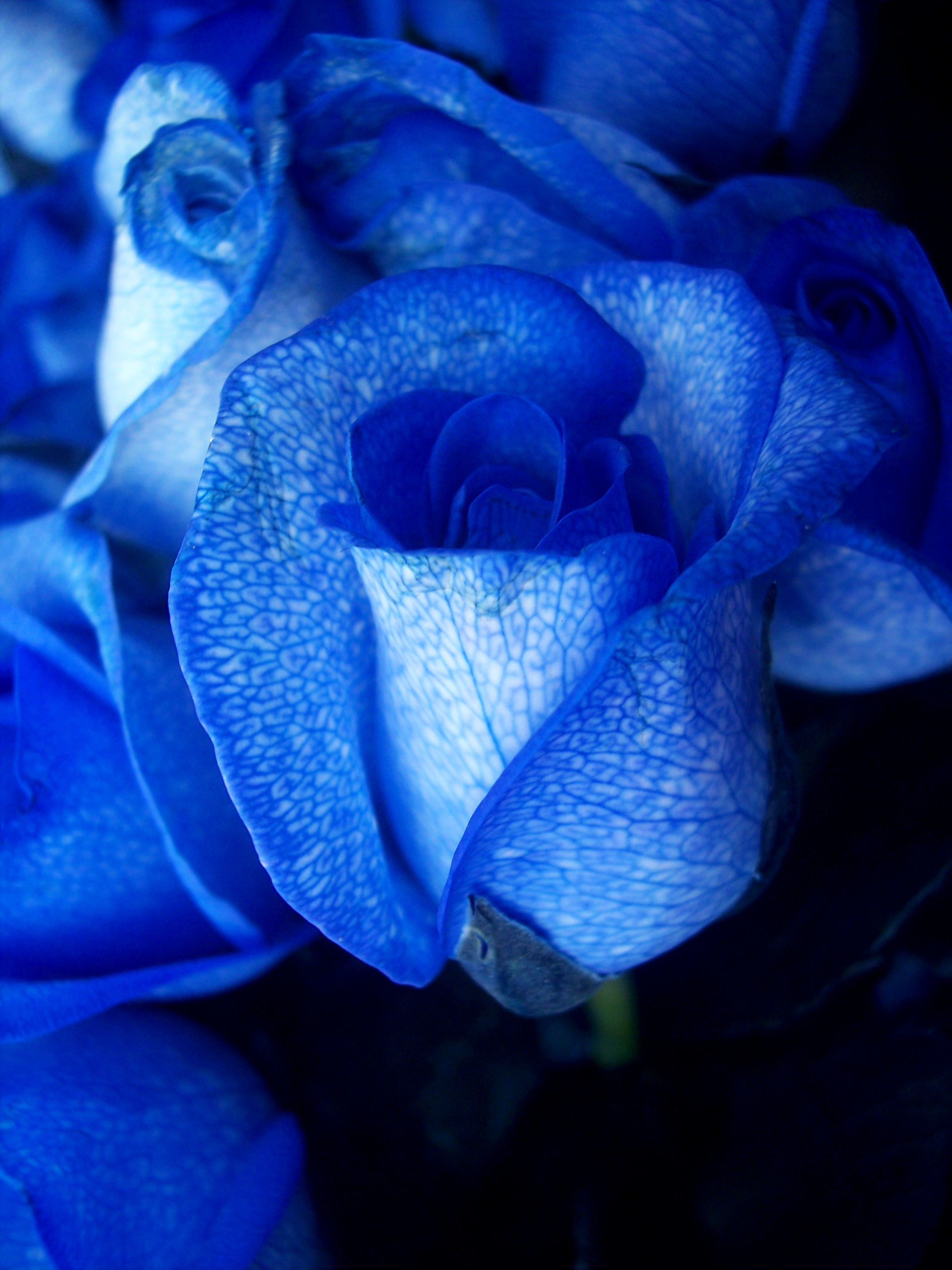 Rainbow roses background wallpapertag - Blue rose hd wallpaper download ...
