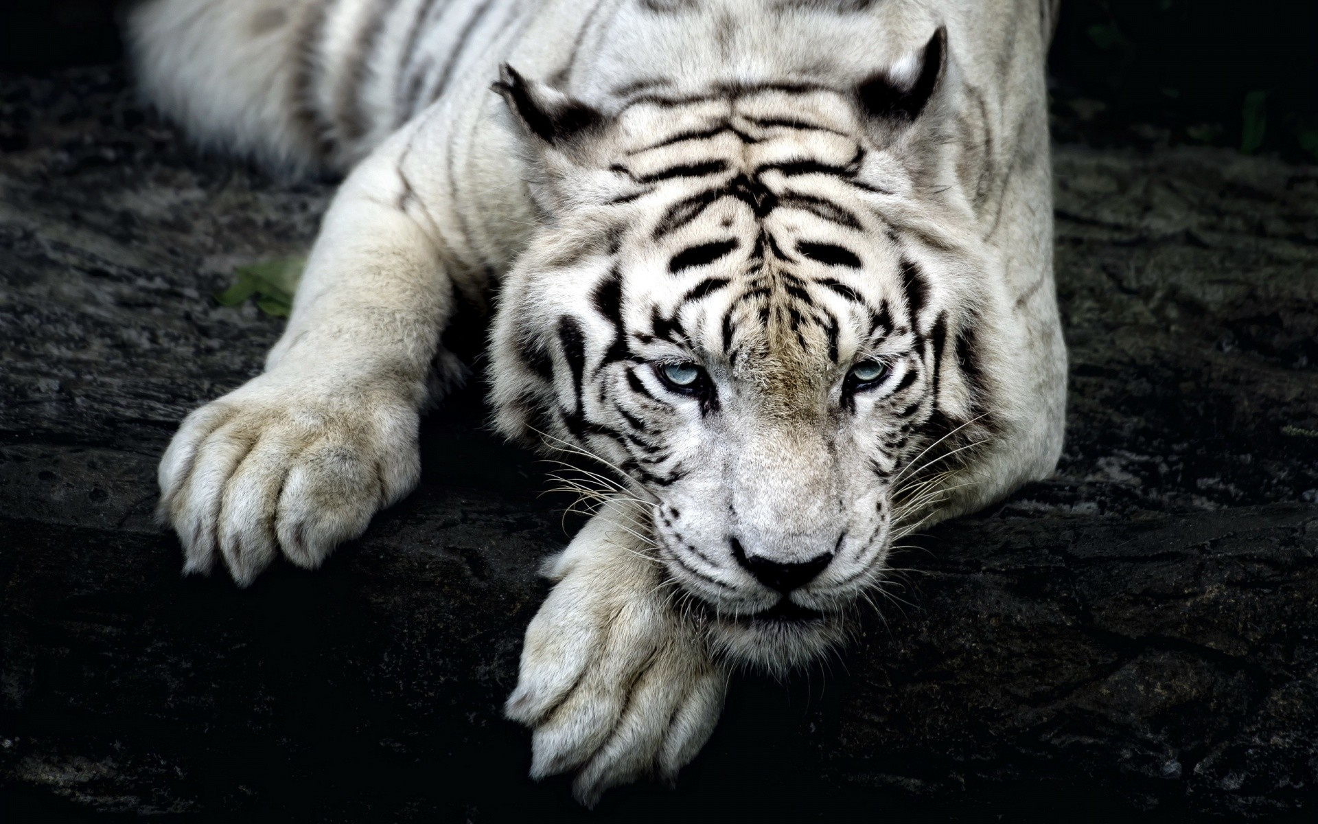 White Tiger Wallpaper Hd