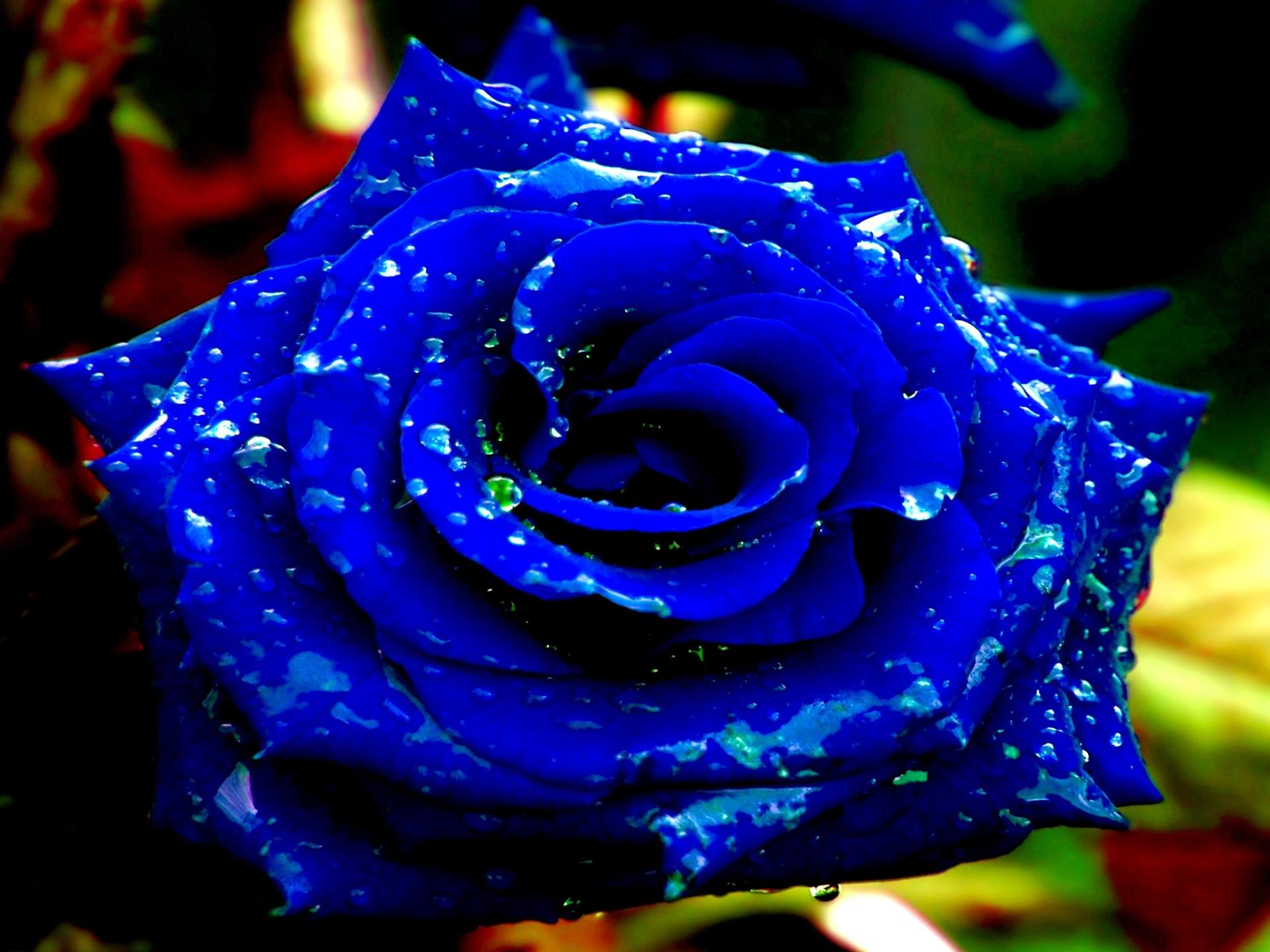 Blue Rose Wallpaper 1