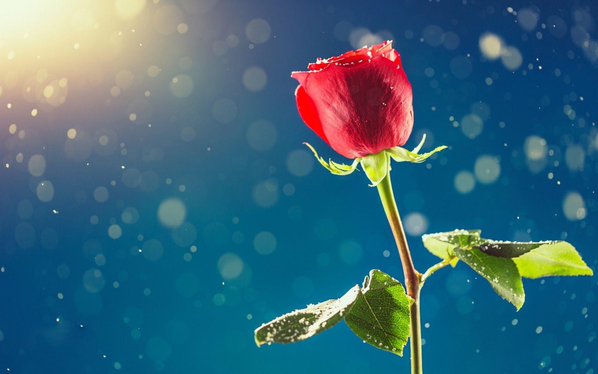 Single Rose Wallpapers: Single Flower Wallpaper ·① WallpaperTag