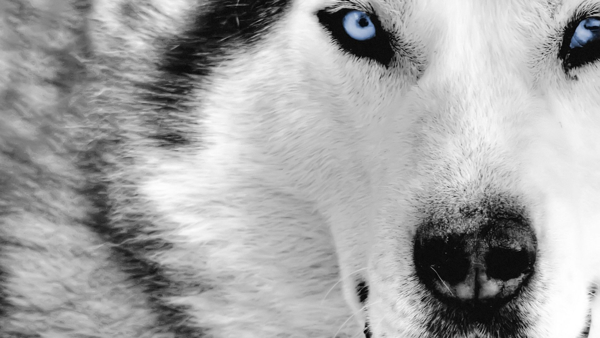 46 Wolf Wallpapers Download Free Stunning Hd Wallpapers For