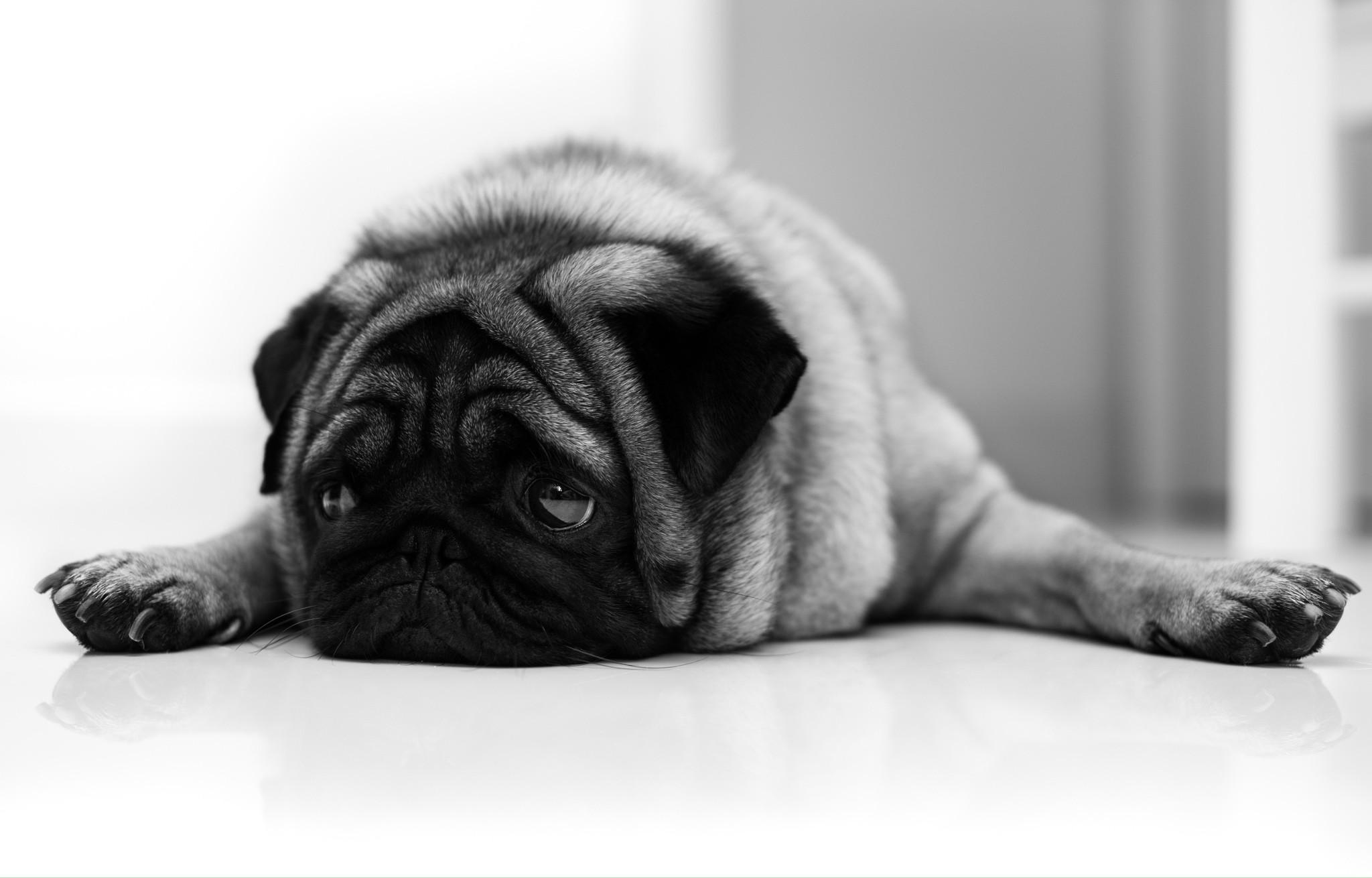 Черно-белый пес на полу  № 1157318 бесплатно