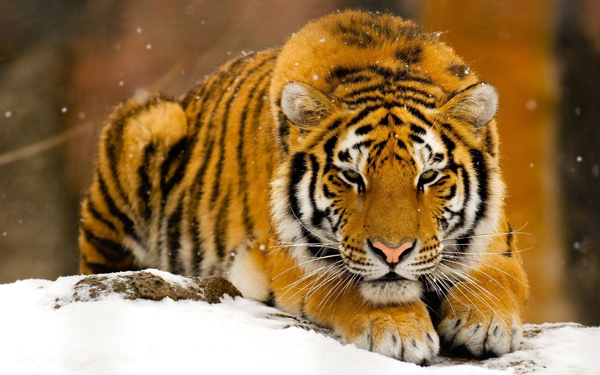 1920x1200 tiger hd photos hd wallpaper