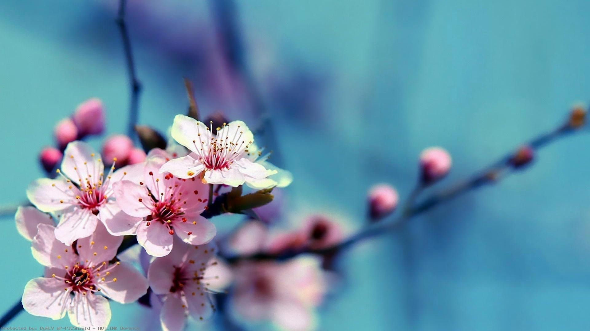 Cherry Blossom Desktop Wallpaper ·① WallpaperTag
