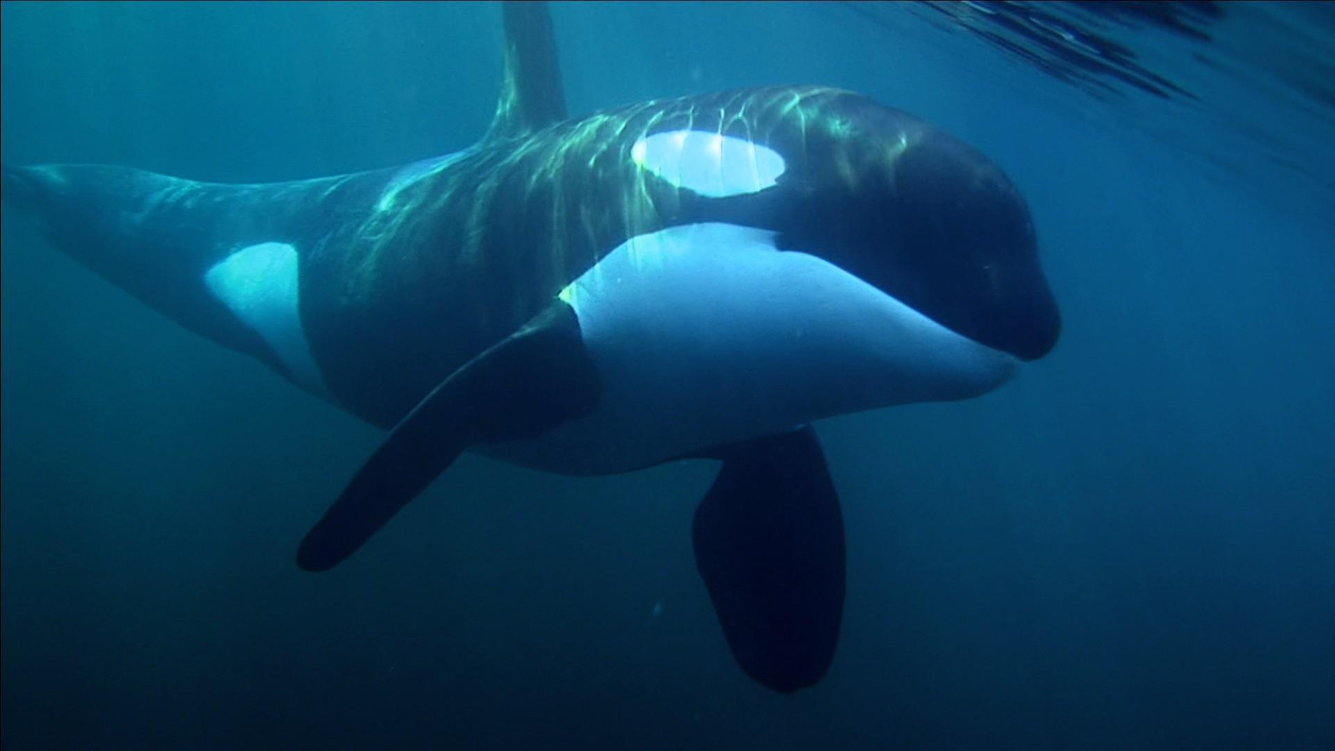 Orca wallpaper download altavistaventures Images