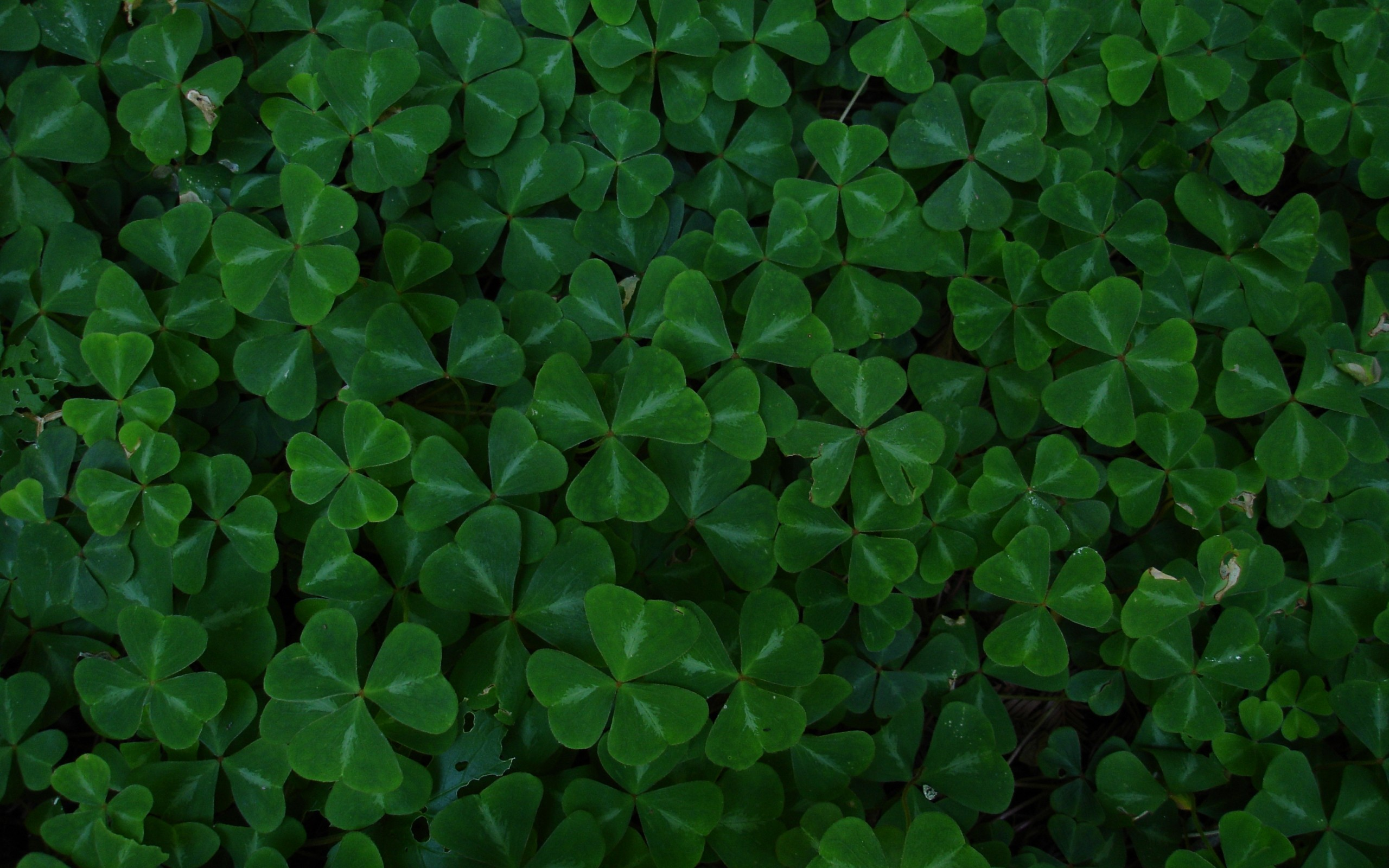 Shamrock Background Download Free Awesome Hd Wallpapers For