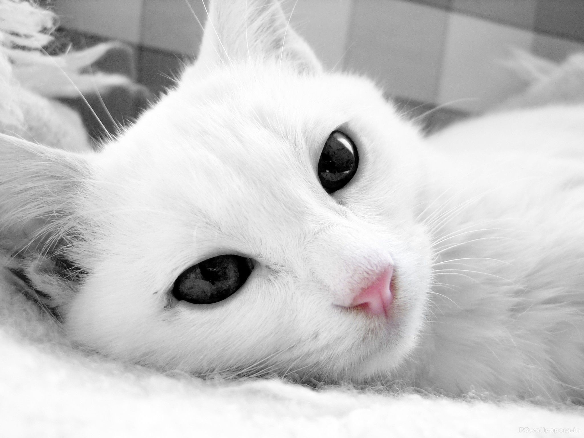 White Cat Wallpapers 1