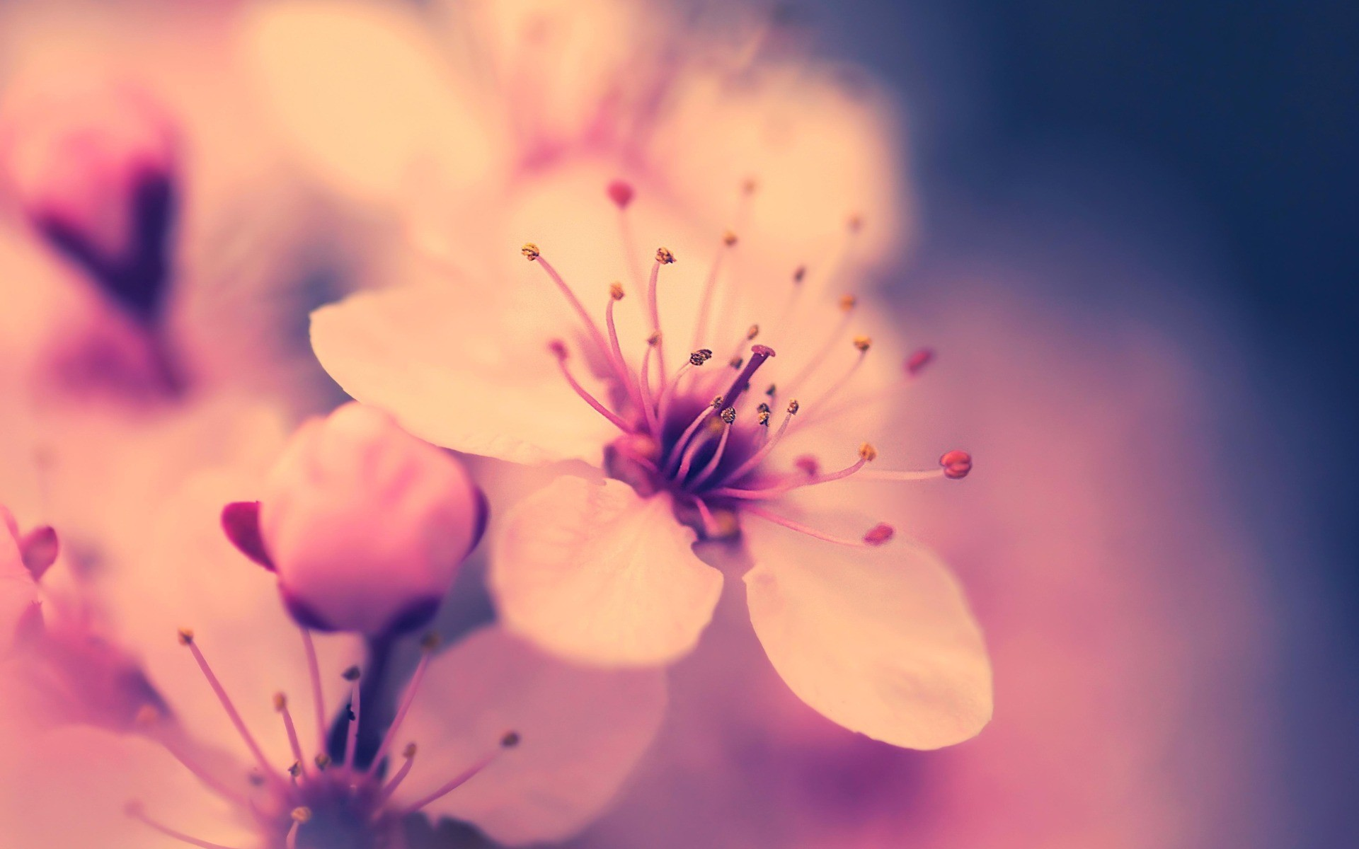 Fondos Flores Hd: Cherry Blossom Wallpaper ·① Download Free Backgrounds