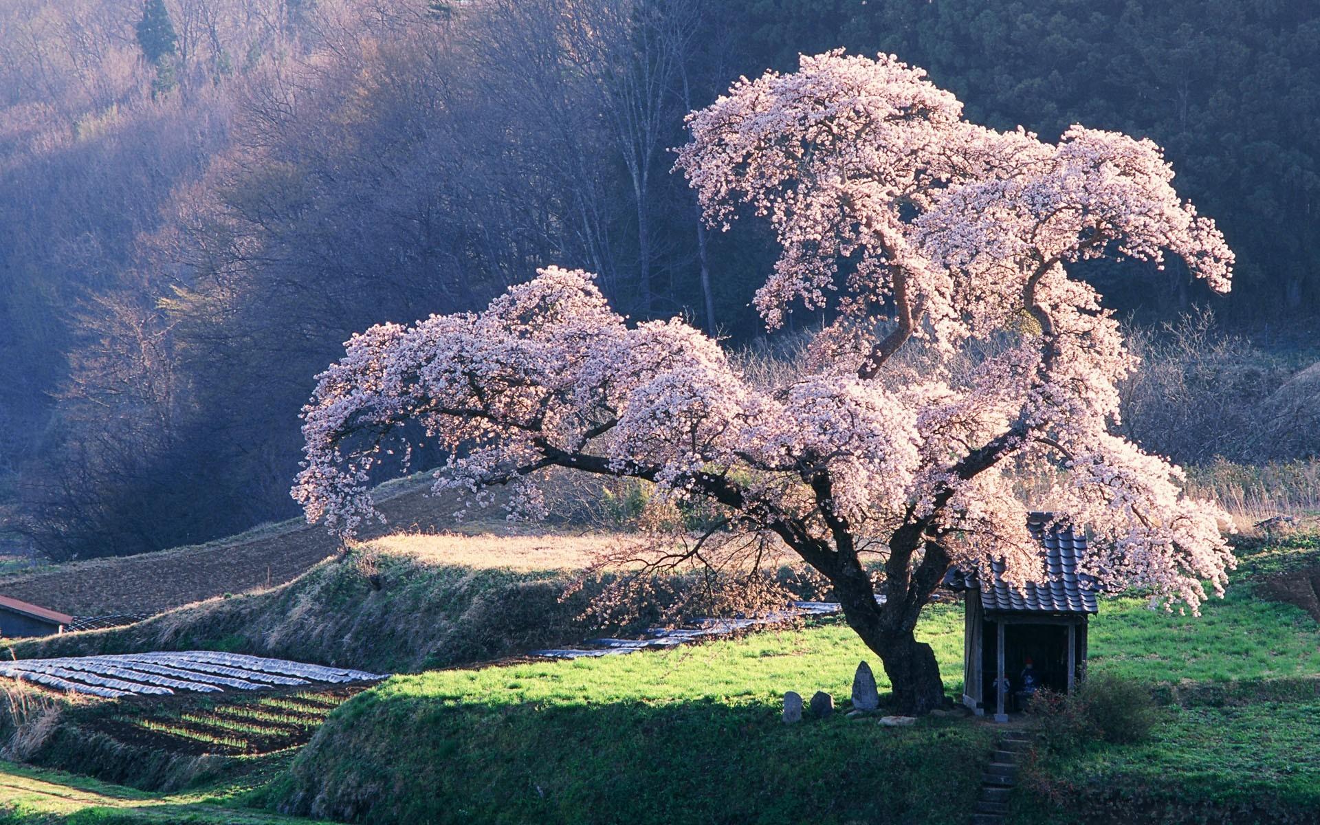 Design Japanese Landscapes japanese landscape wallpaper 1920x1200 japan landscapes nature cherry blossoms trees grass fields rice
