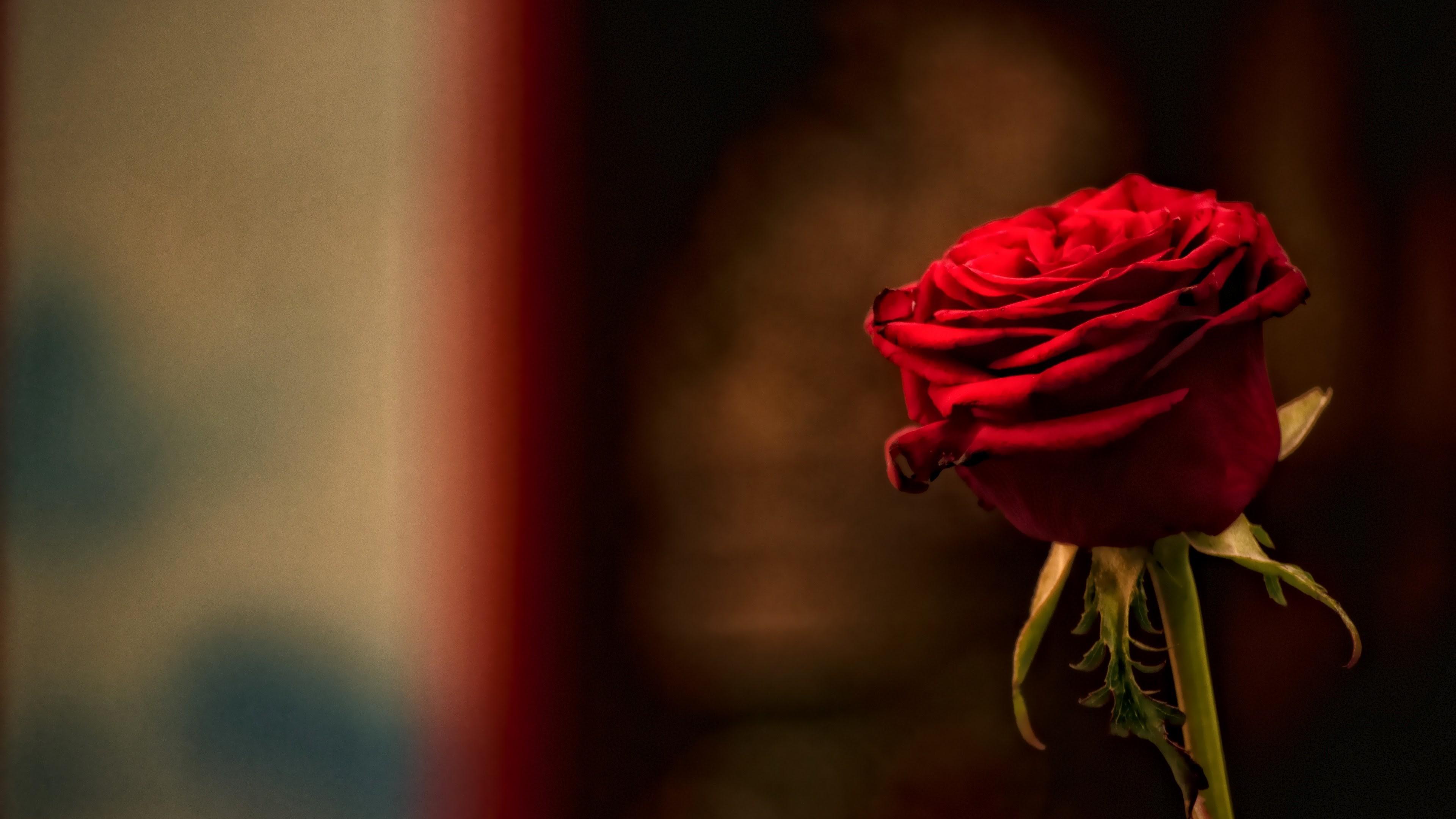 Single Rose Wallpapers: Red Roses Wallpapers For Desktop ·① WallpaperTag