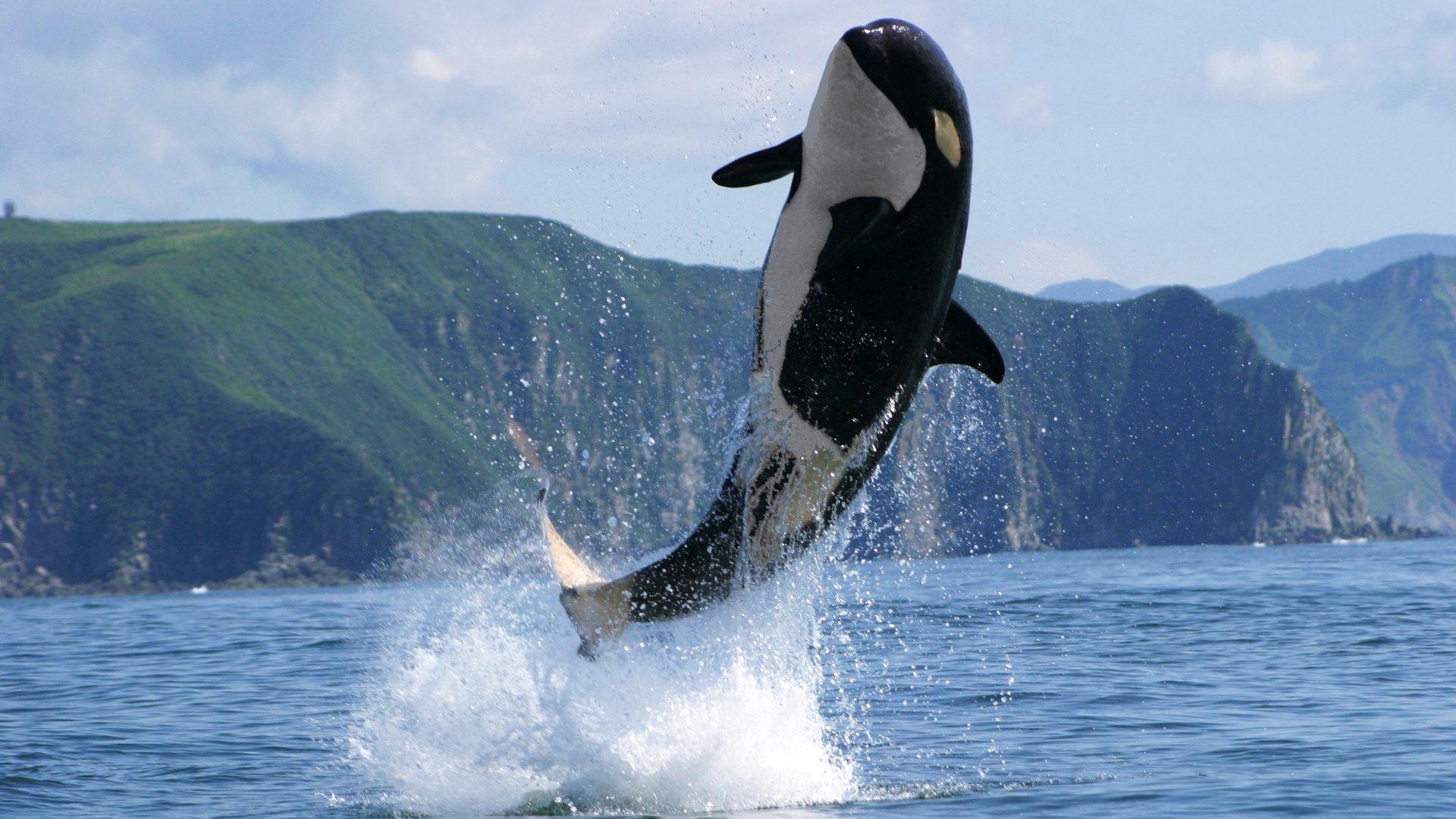 Killer Whale Wallpaper ·① WallpaperTag