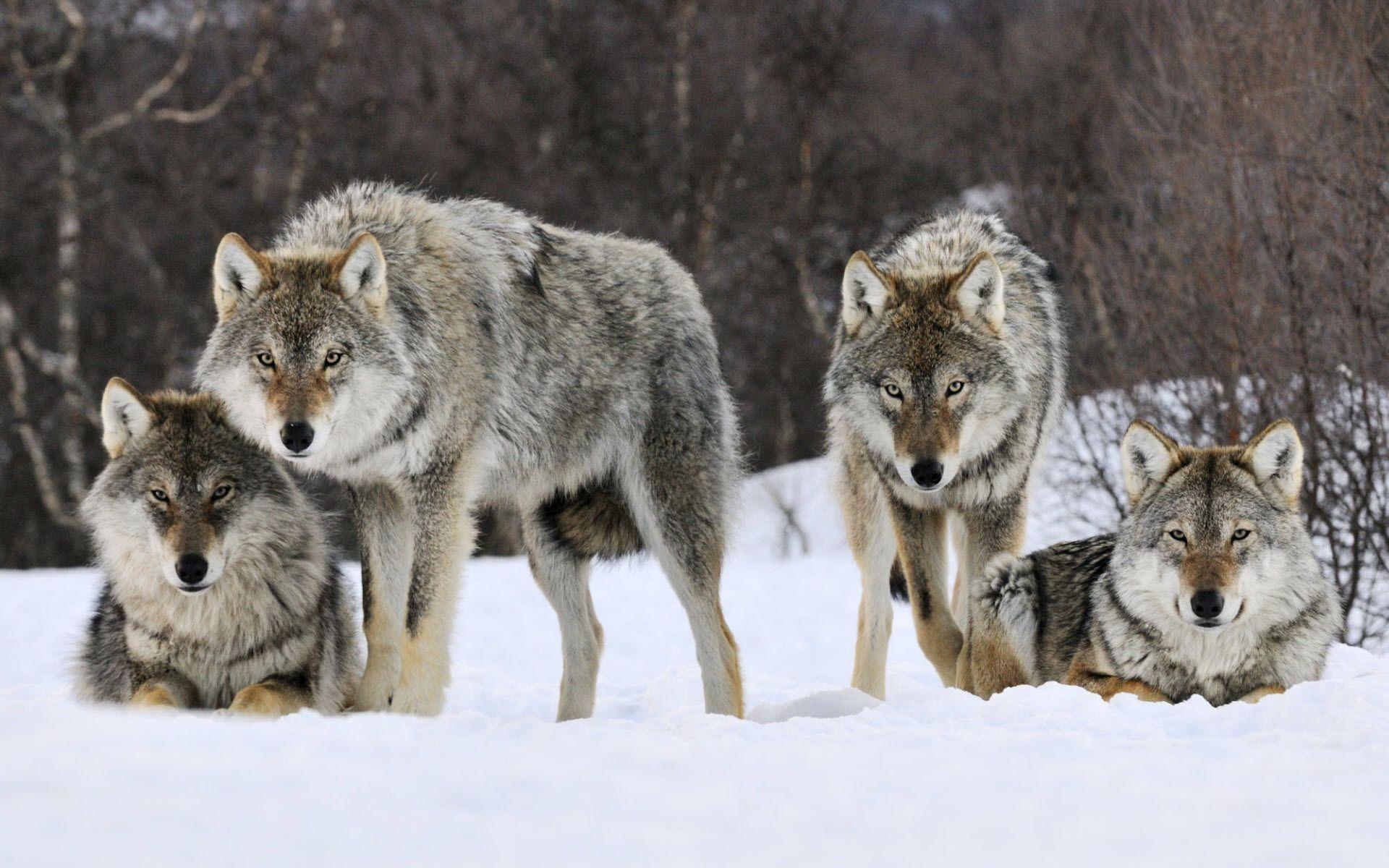 Wolves Desktop Wallpaper Wallpapertag