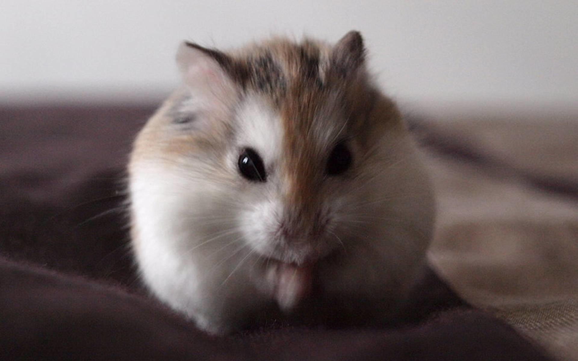 Cute Hamster Wallpaper ·①