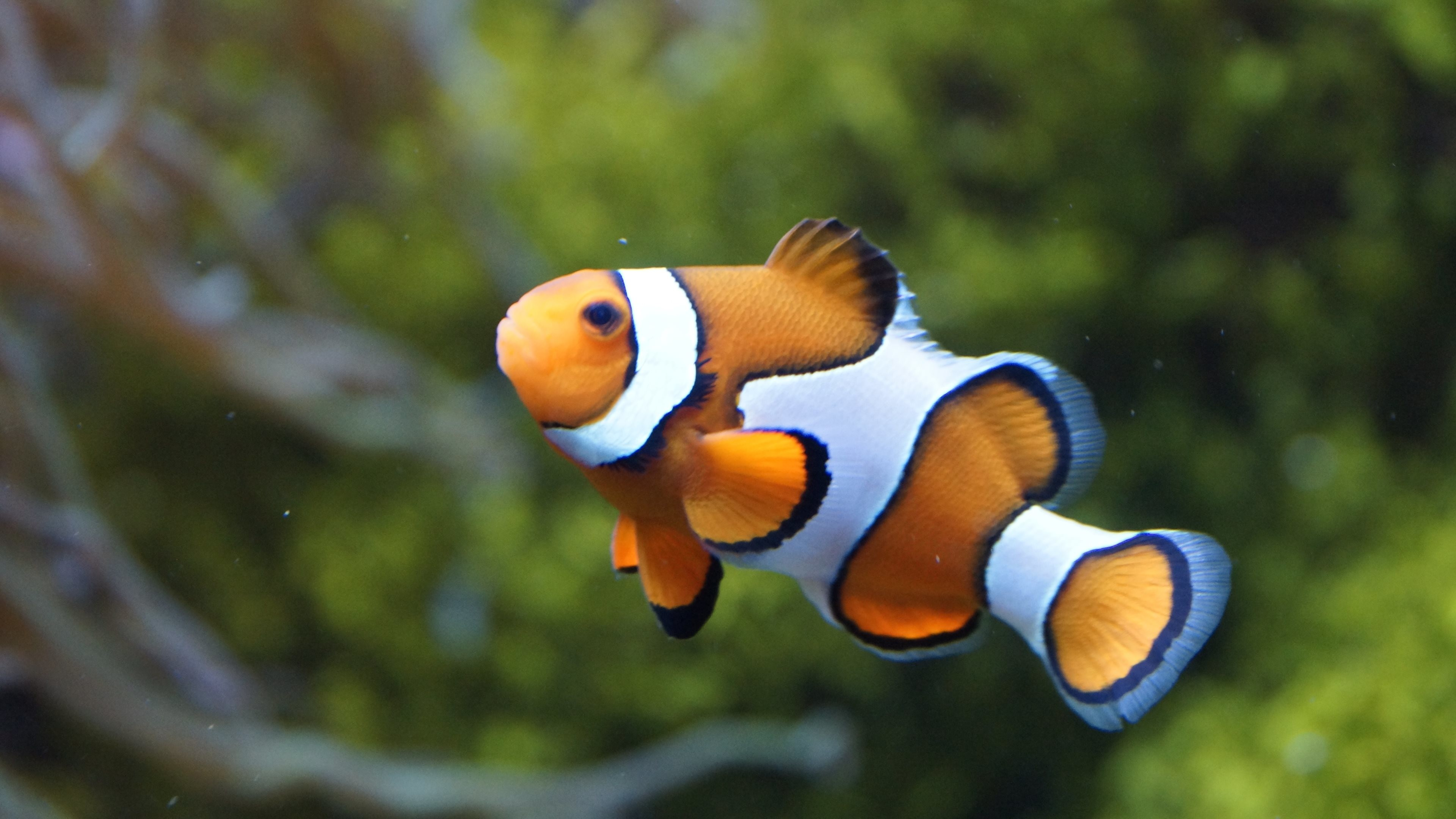 Clown Fish Wallpaper Wallpapertag