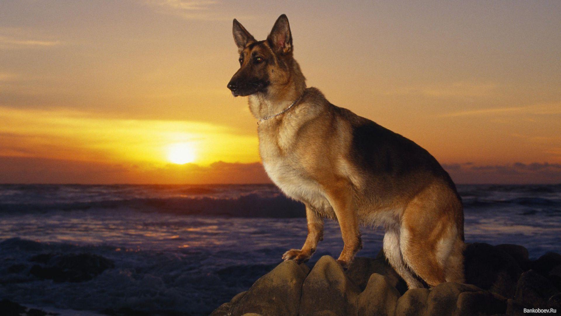 german shepherd dog wallpaper 183��