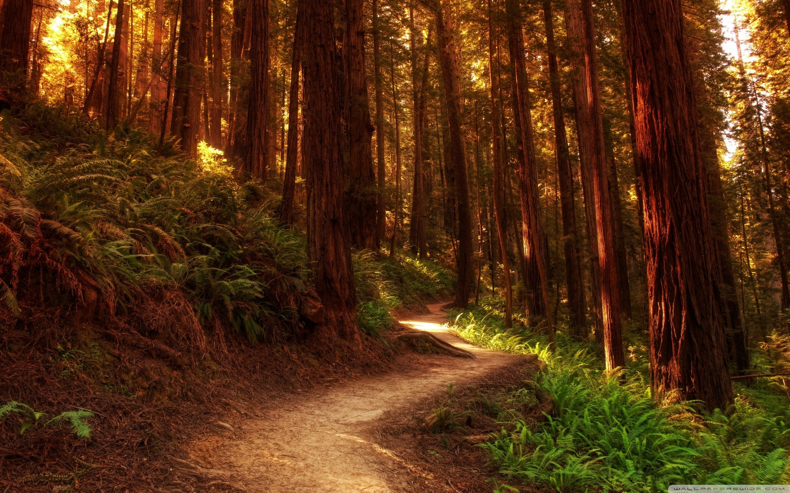 Redwood Forest Wallpaper 183 ① Wallpapertag