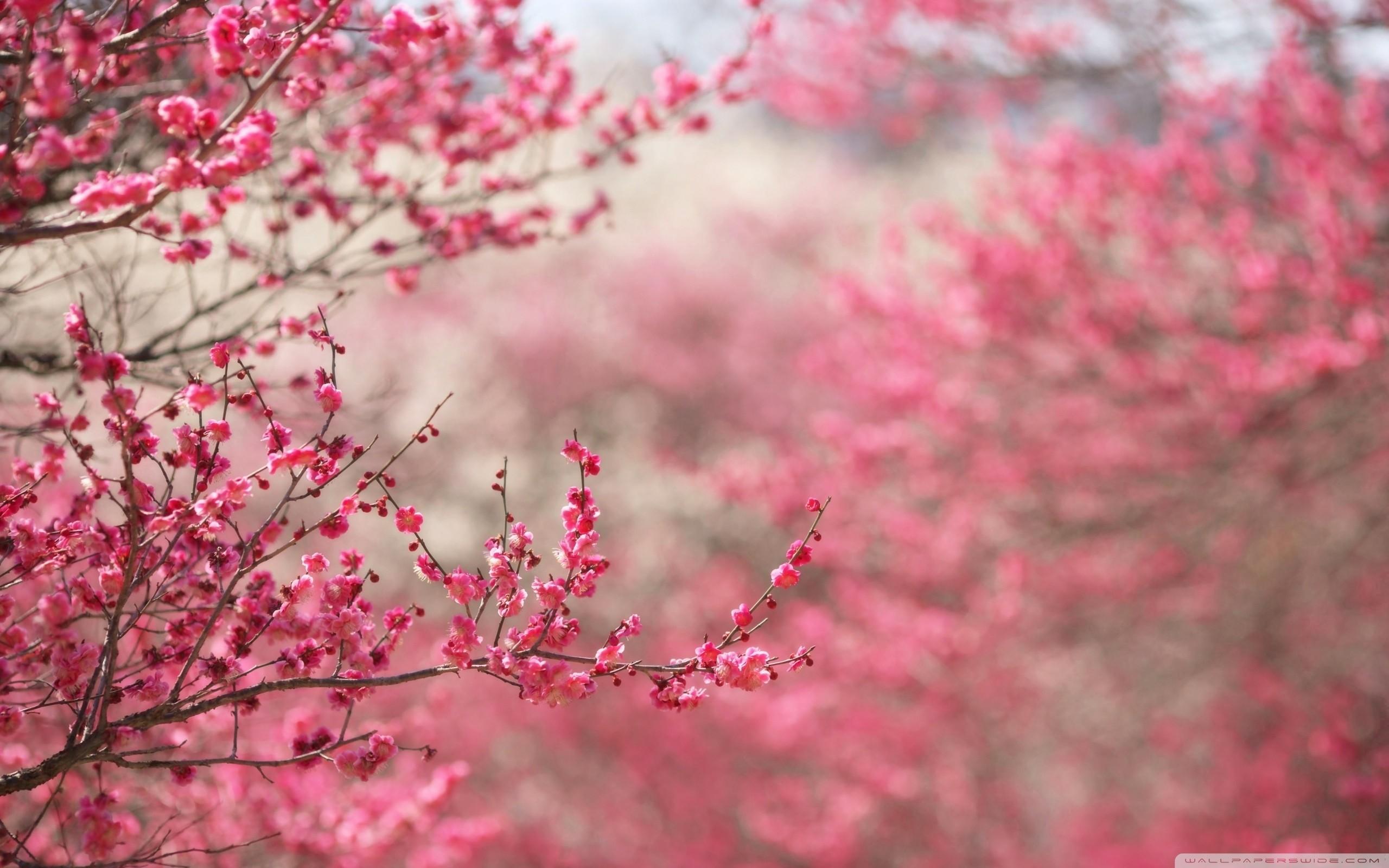 sakura flower wallpaper wallpapertag