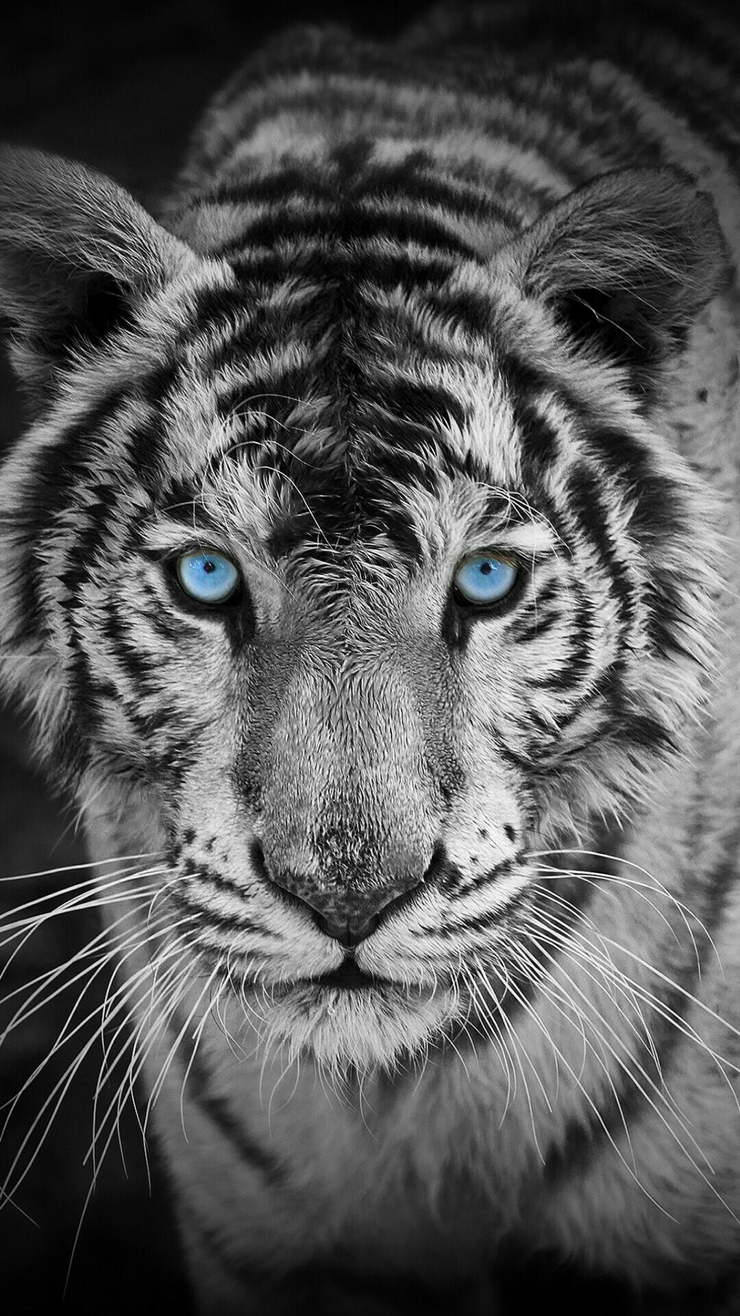 White Tiger Hd Wallpaper Wallpapertag