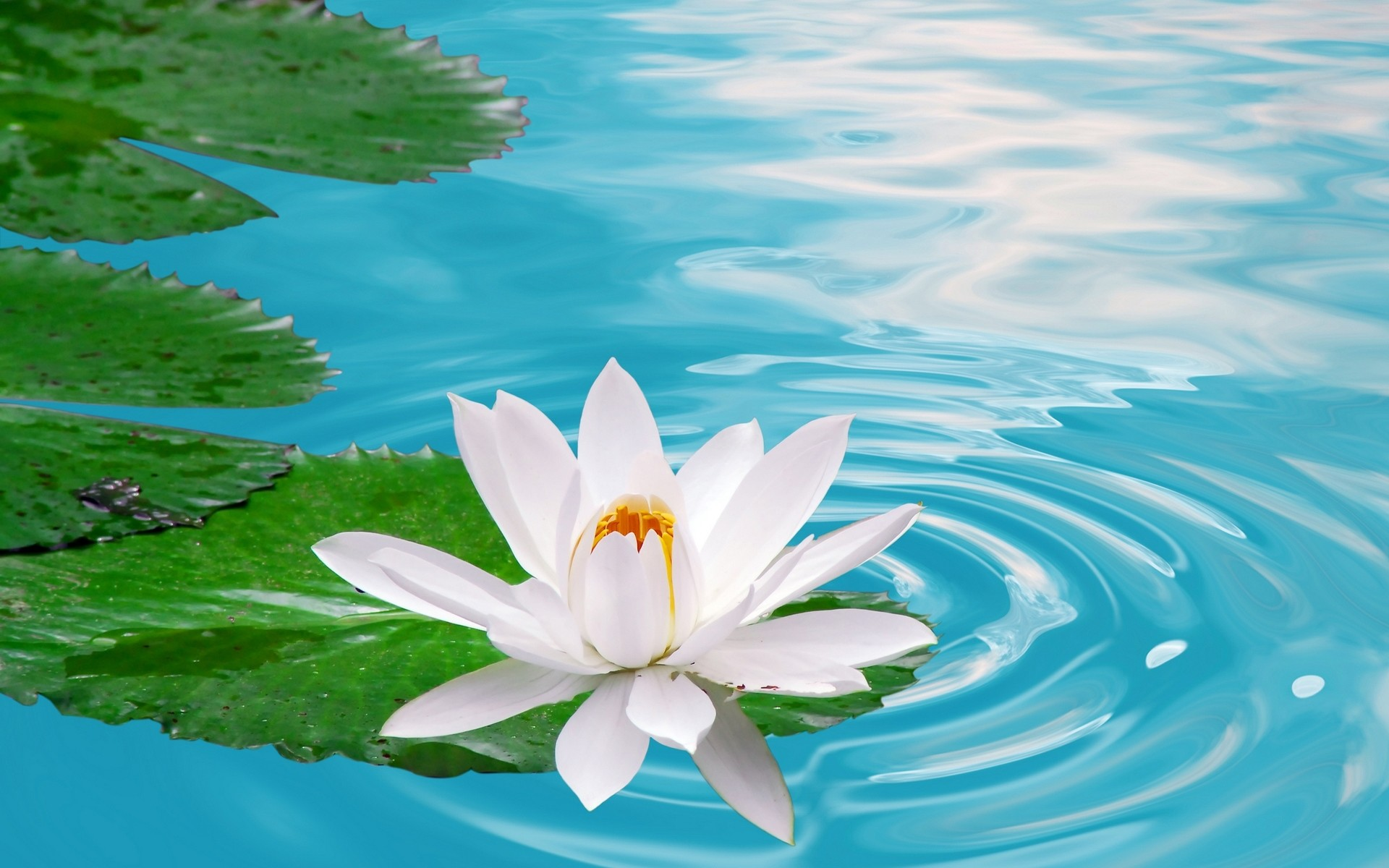 Lotus Flower Wallpaper ① Wallpapertag