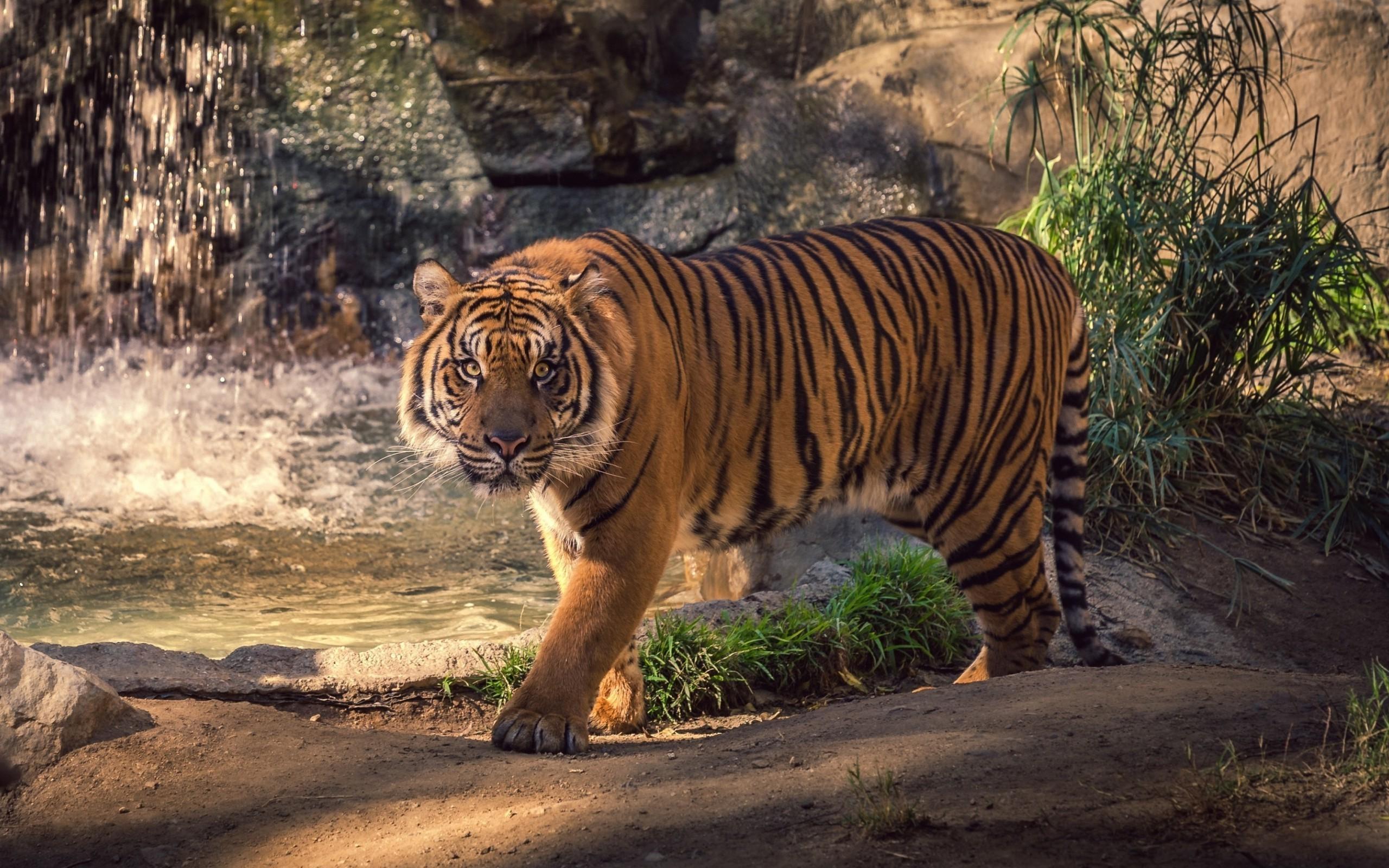 природа животные тигры nature animals tigers  № 1297246  скачать