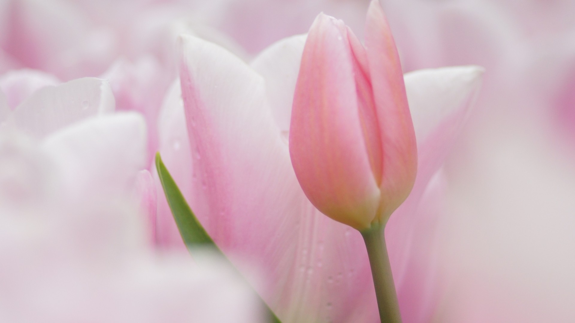 pink tulips wallpaper  u00b7 u2460 wallpapertag
