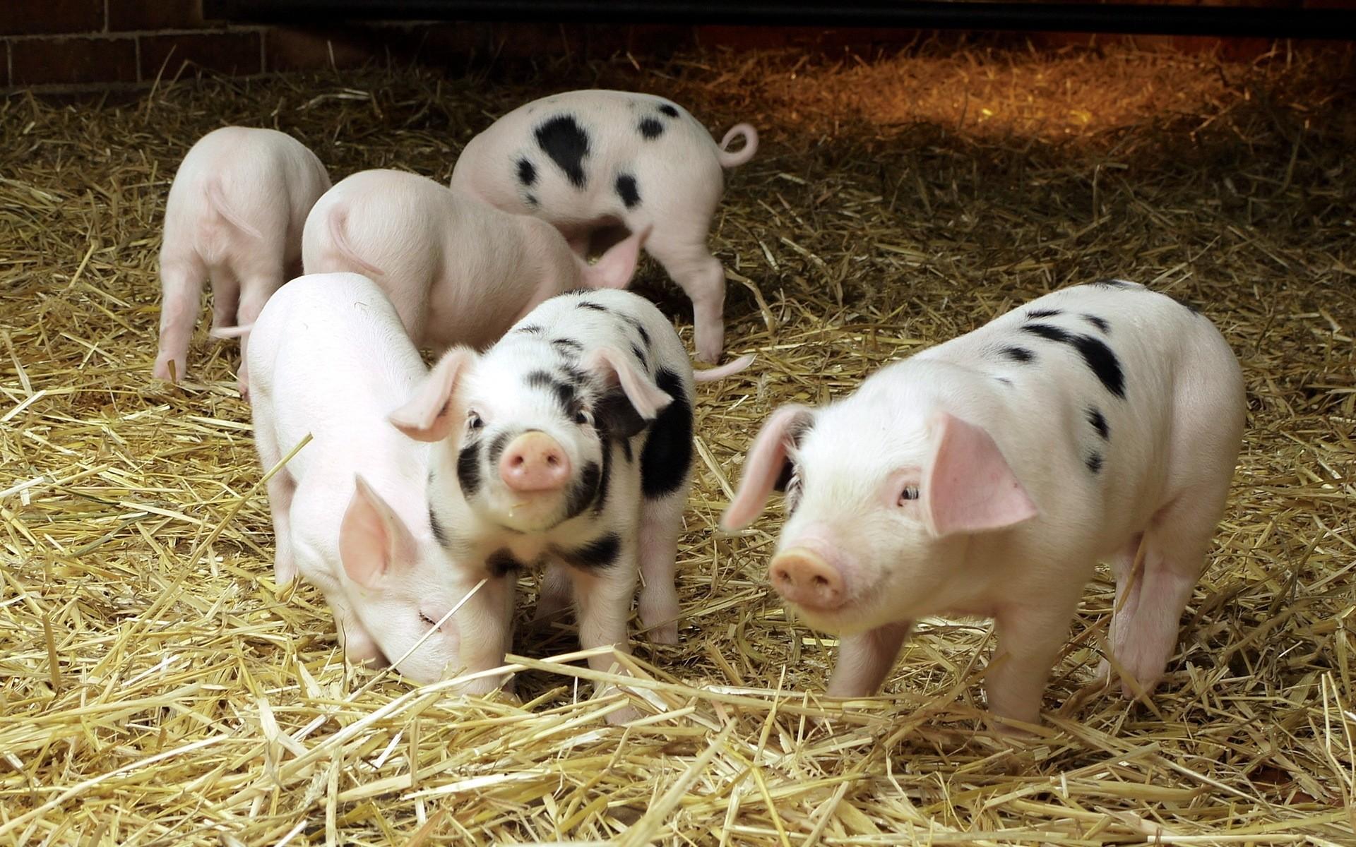 Cute Pig Wallpaper ·① WallpaperTag