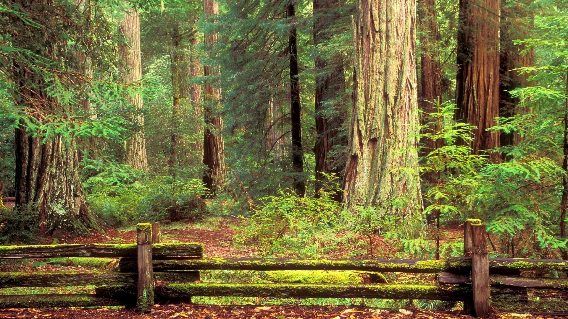 Redwood Forest Wallpaper 183 ① Wallpapertag