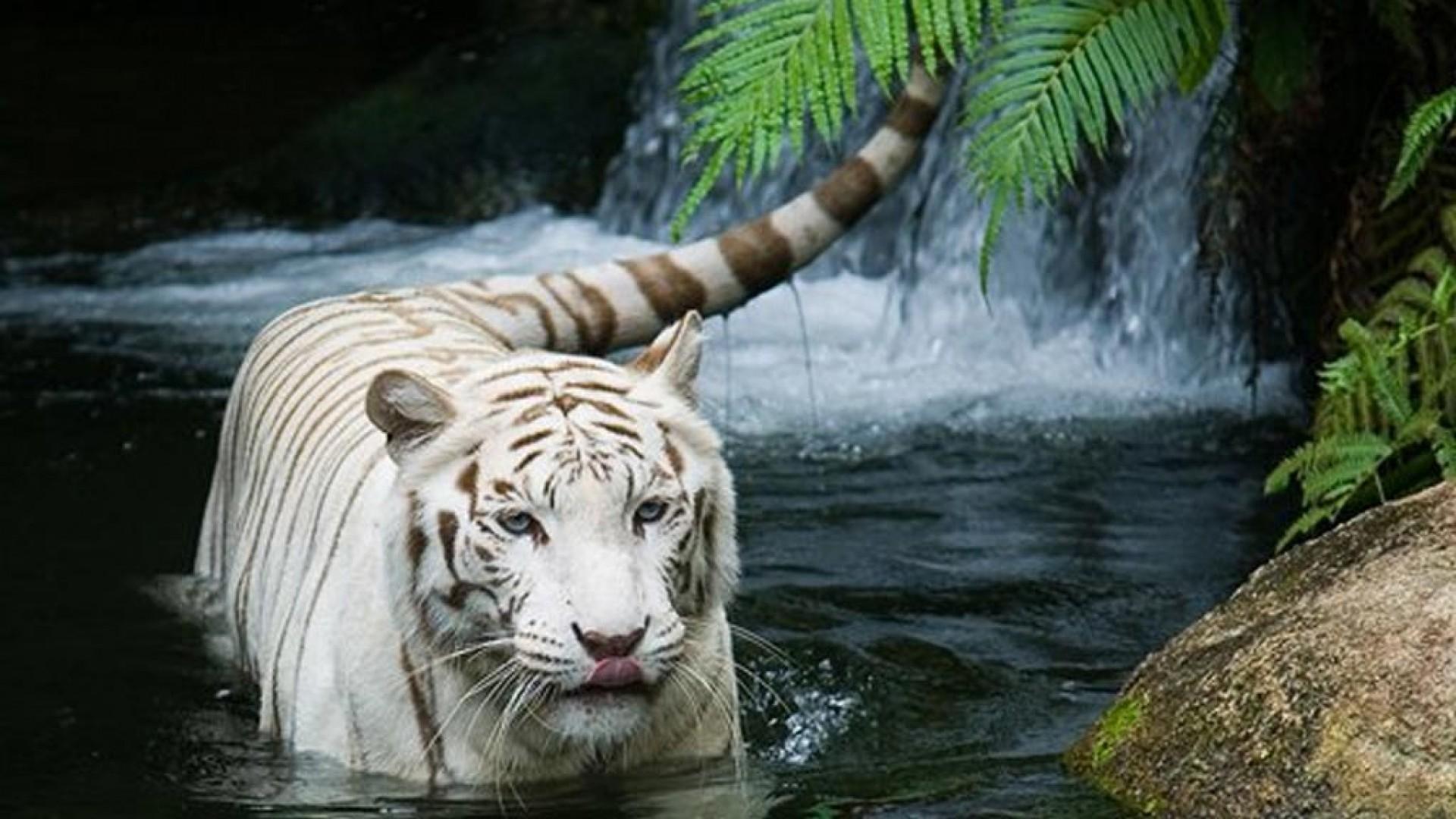 White Siberian Tiger Wallpaper