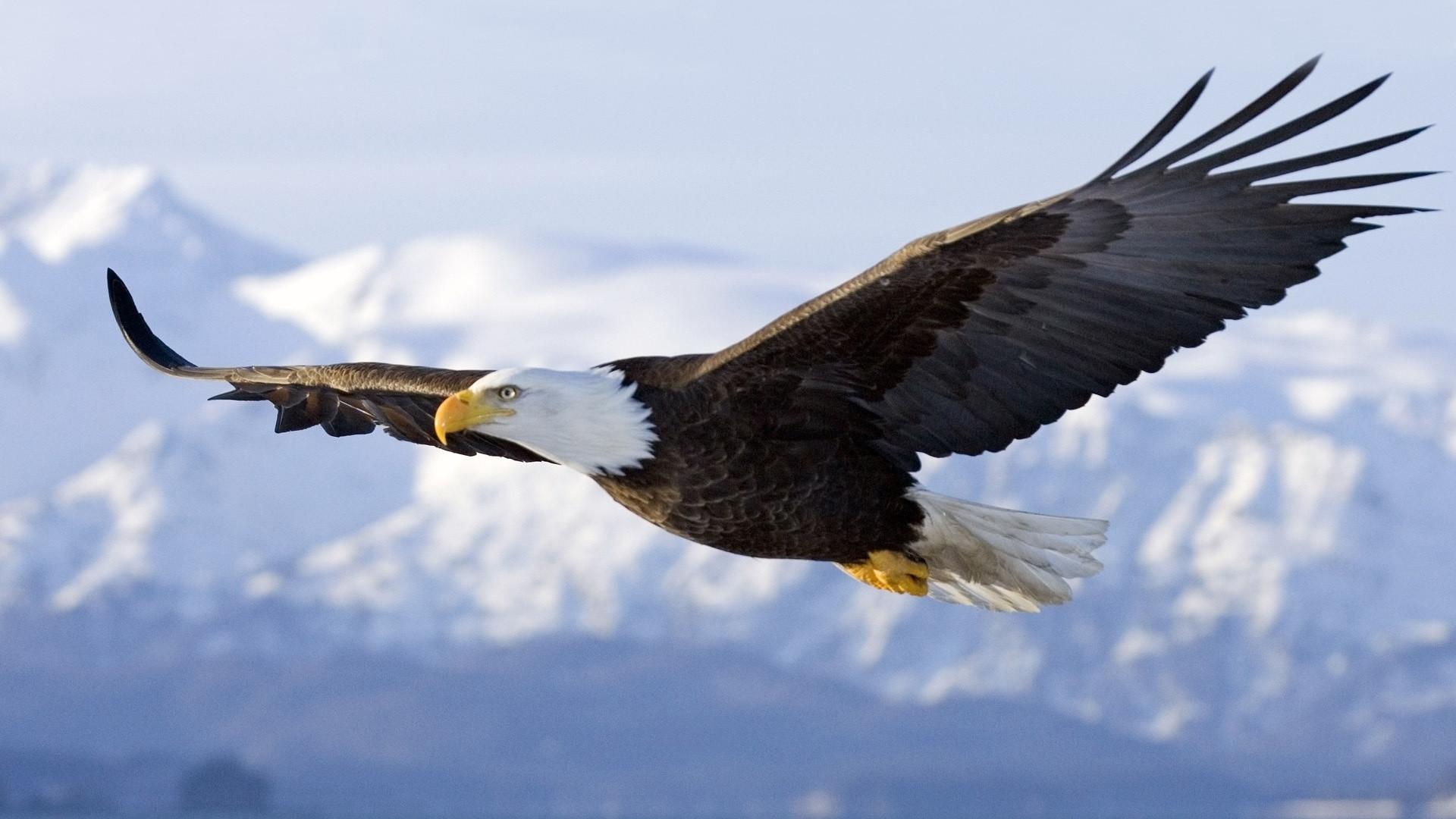 American Bald Eagle Wallpaper Wallpapertag