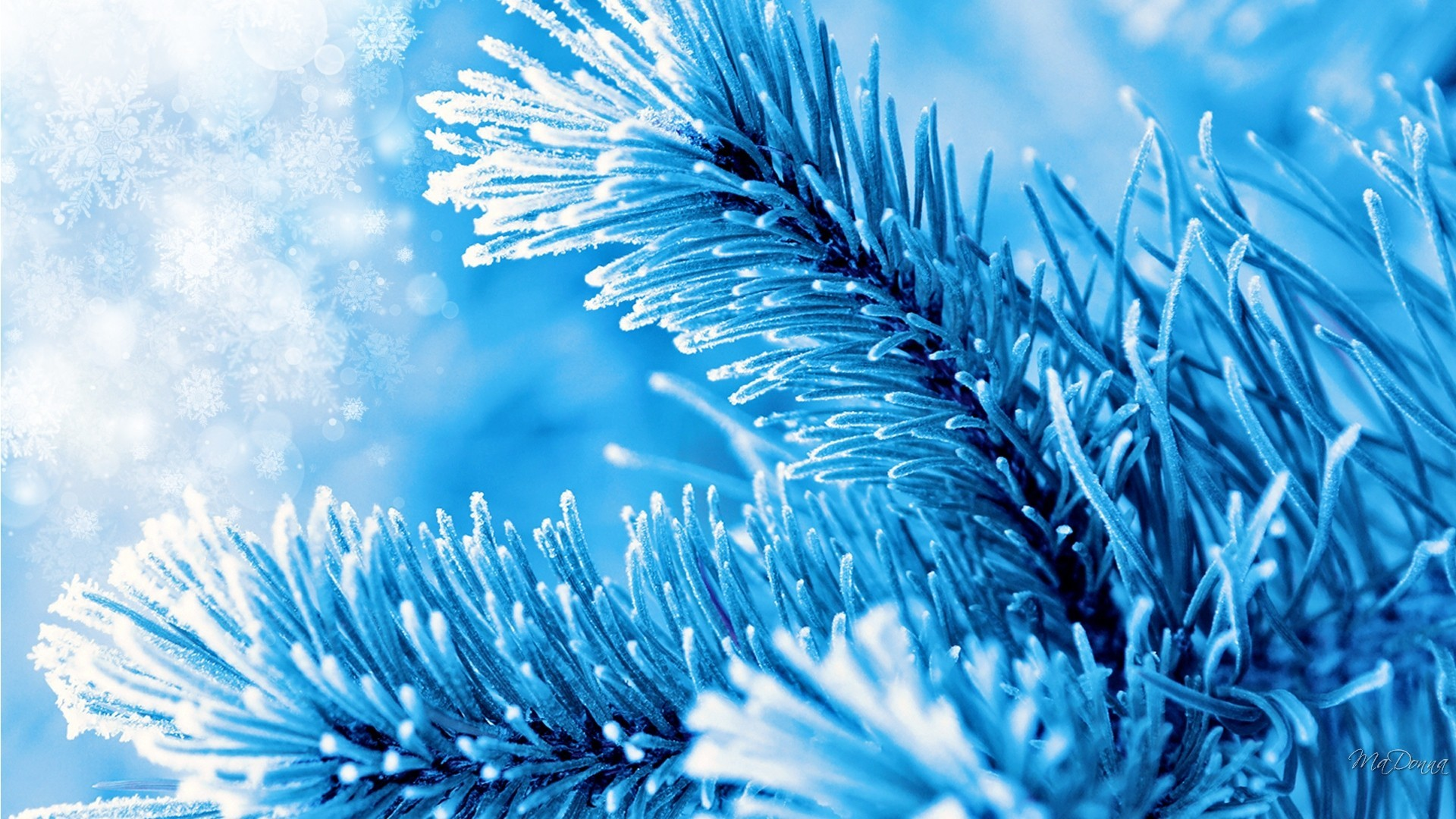 Blue Spruce Christmas Trees