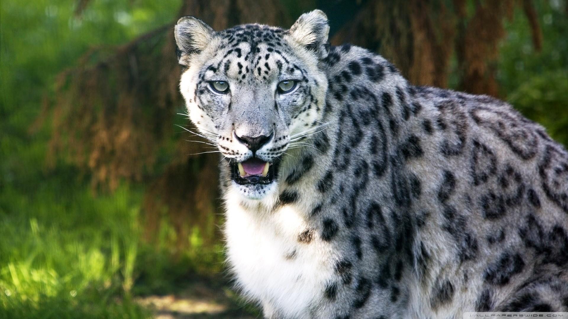 фото белого леопарда картинки тегом пузырь