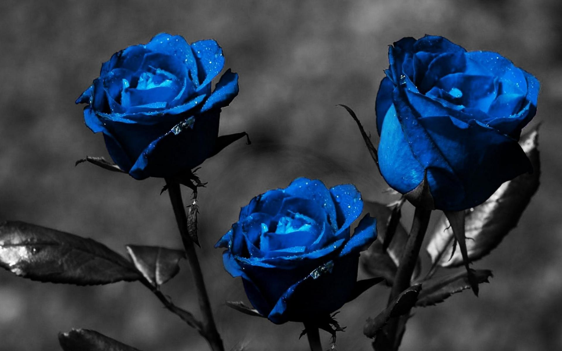 Blue Rose Wallpaper ·① WallpaperTag
