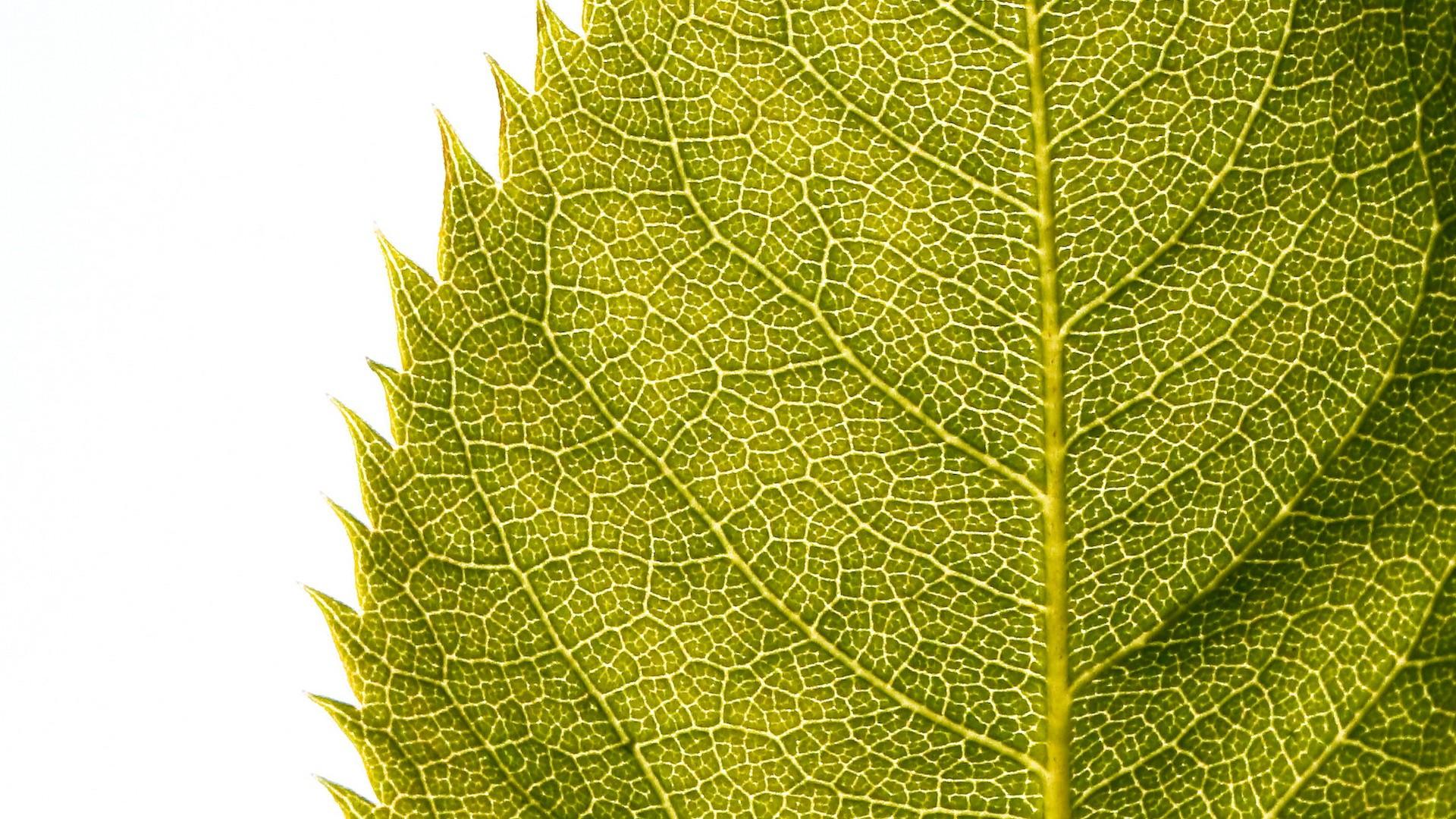 leaf background download free stunning high resolution