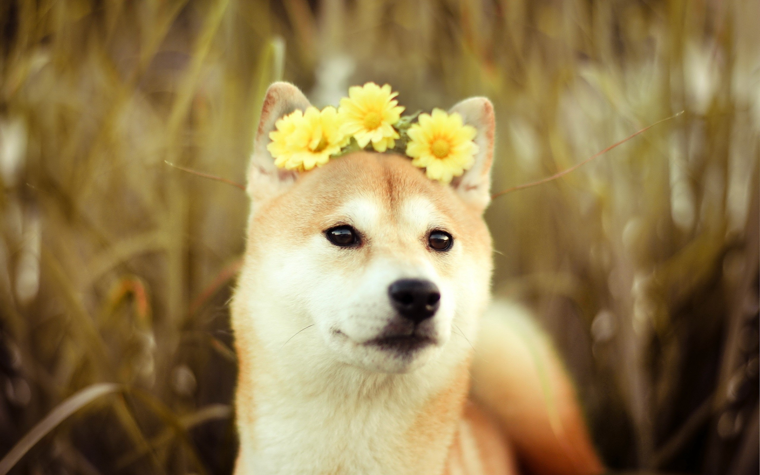 2560x1600 Daisy Doge With The Flowers In Your Hair