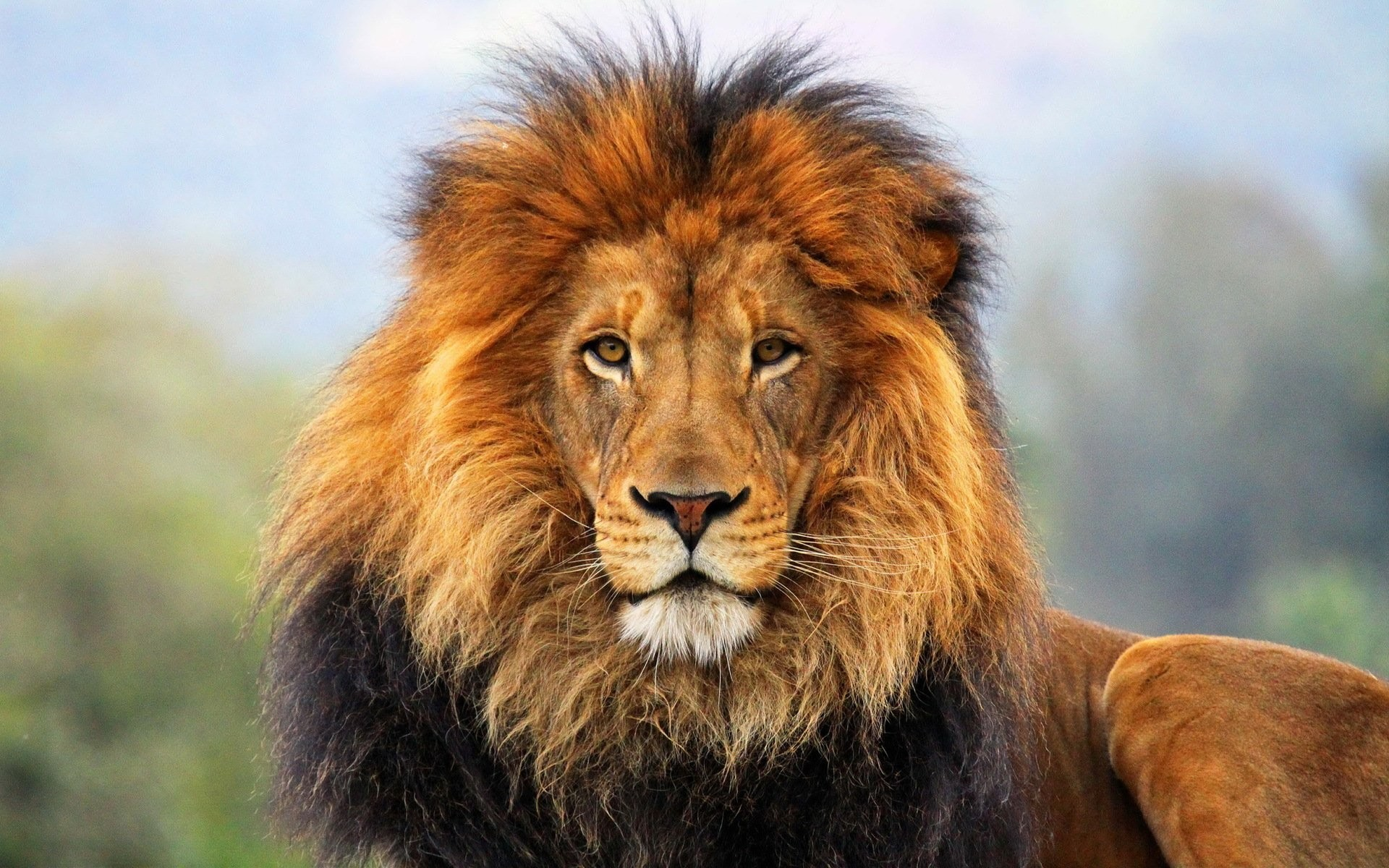 Lion Background ·① Download Free Full HD Backgrounds For