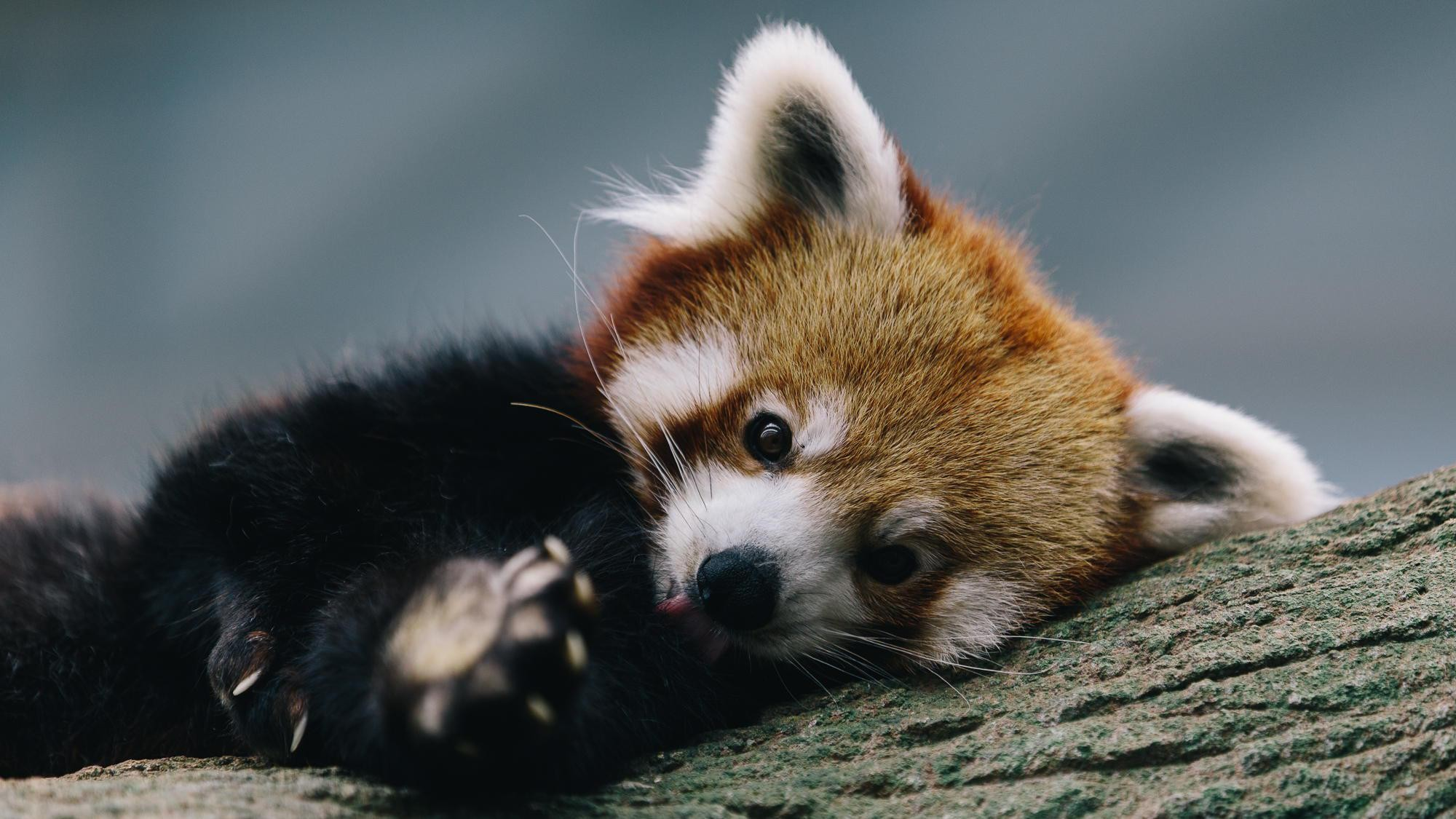 Red Panda  № 1564064  скачать