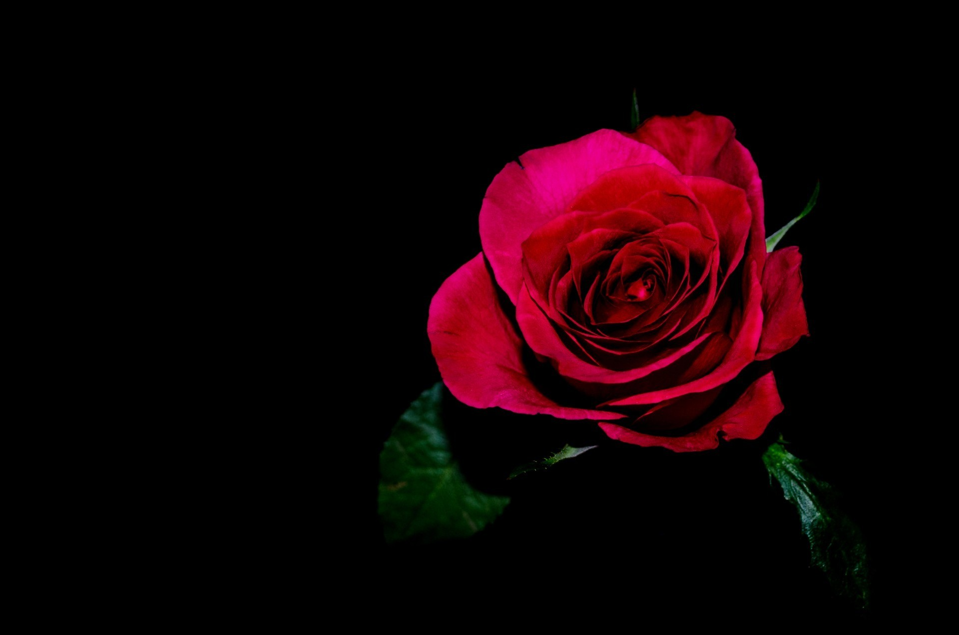 Red Rose On Black Background ·①