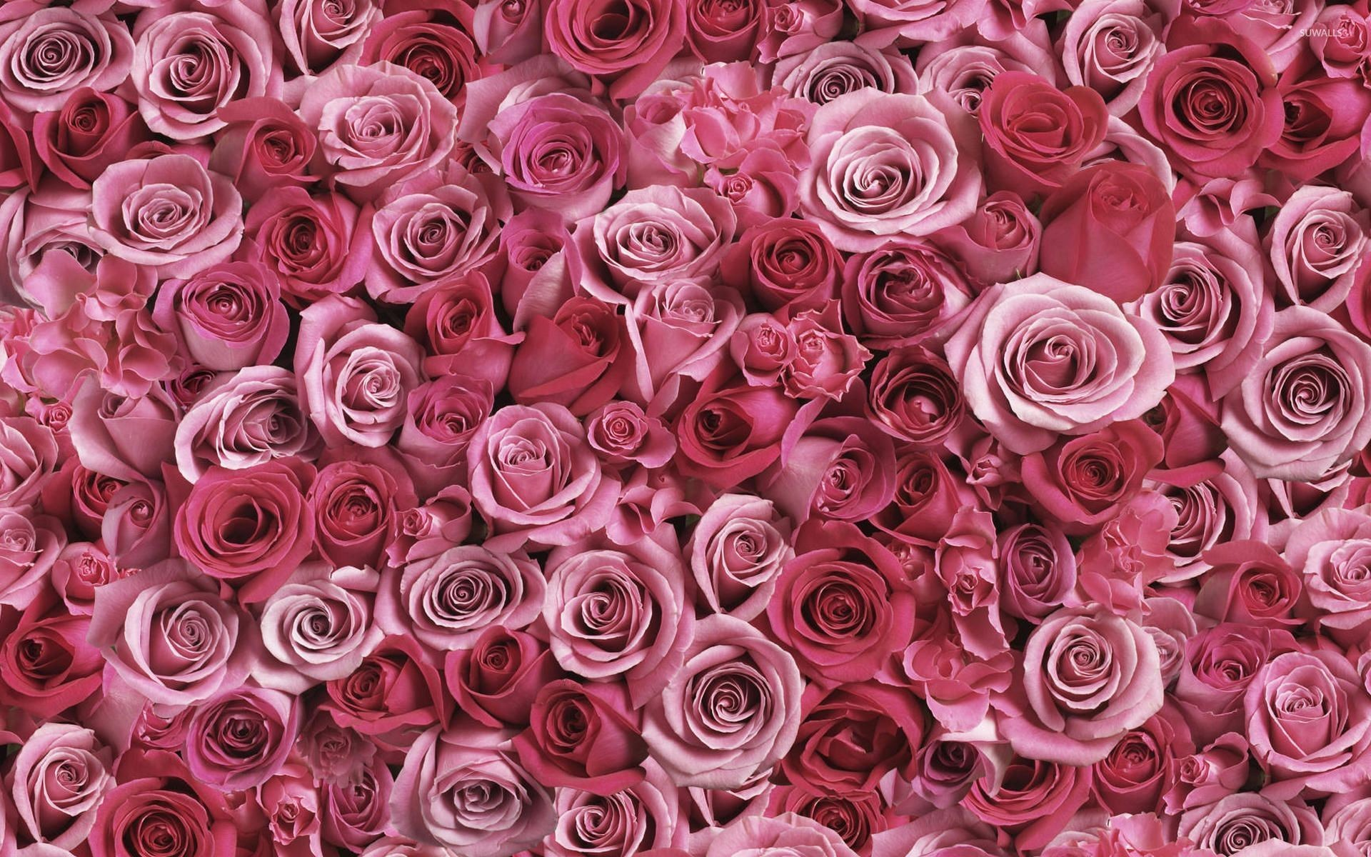 Pink Roses Wallpapers ·①