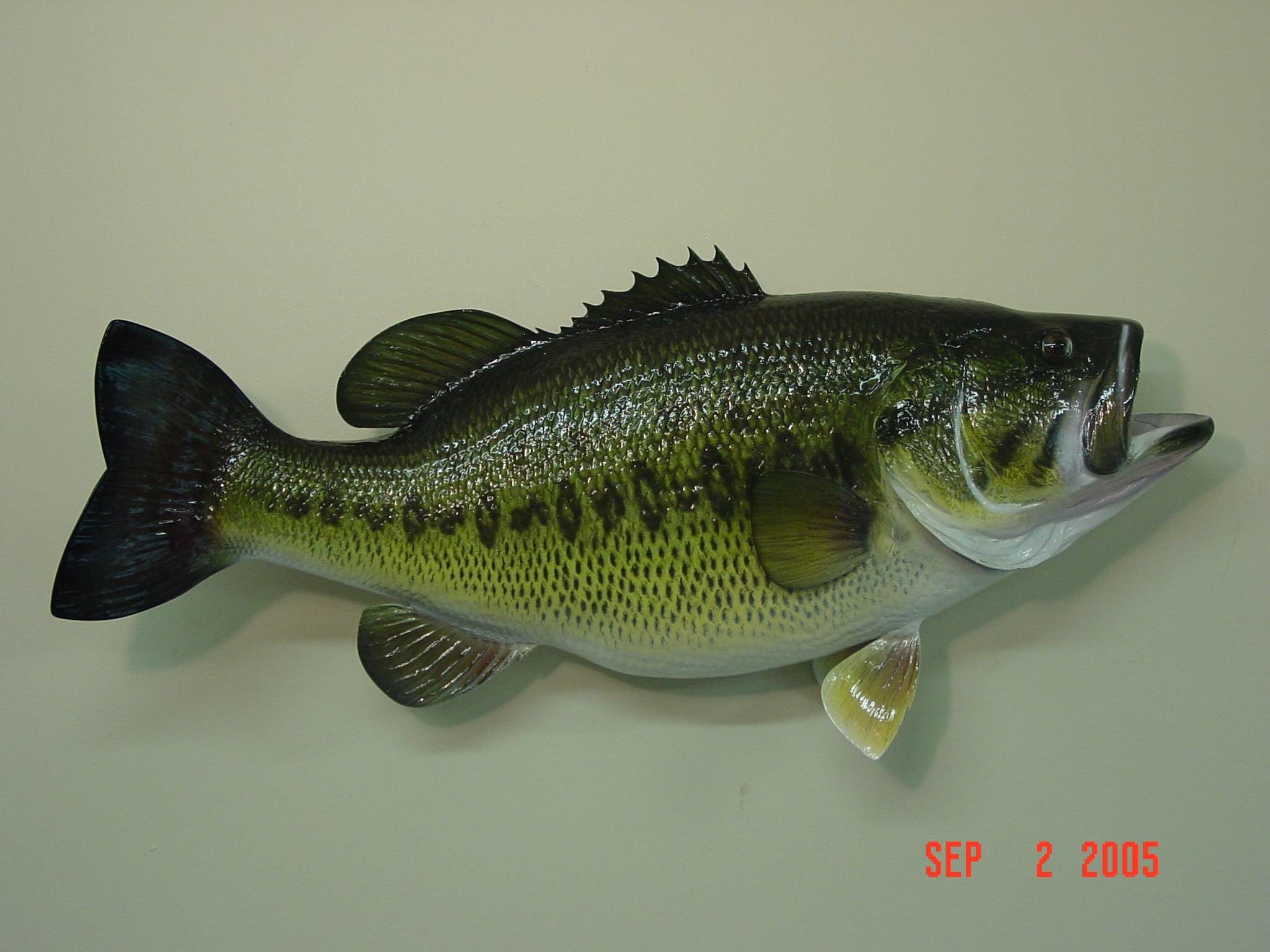 Largemouth bass wallpaper for Pictures of bass fish