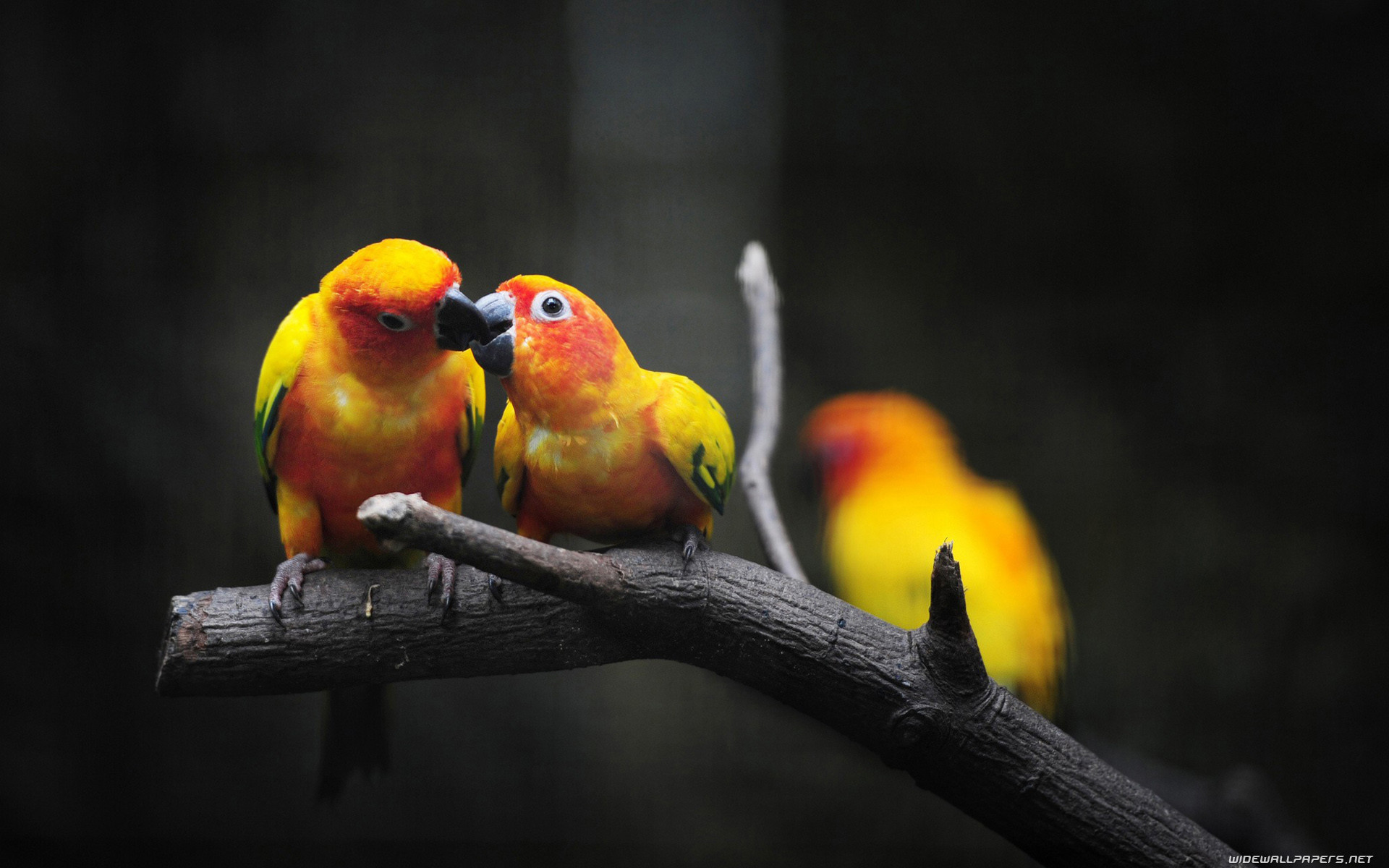 Citaten Love Bird : Lovebirds wallpaper ·①