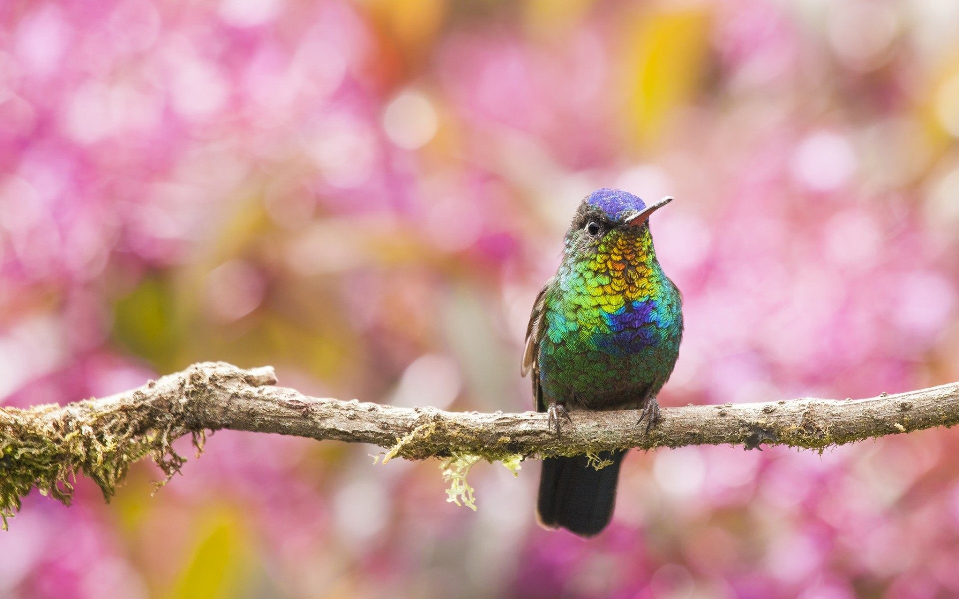 hd hummingbird wallpaper hd wallpapers images
