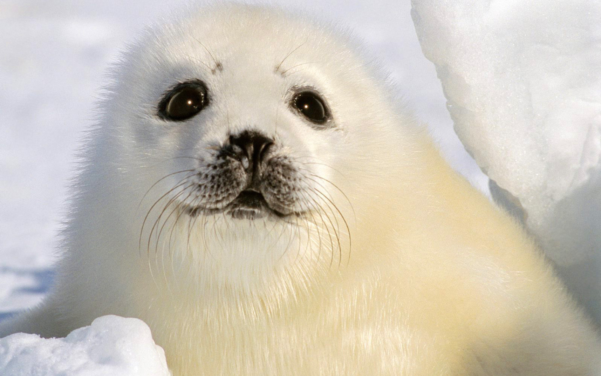 baby seal wallpaper 183��